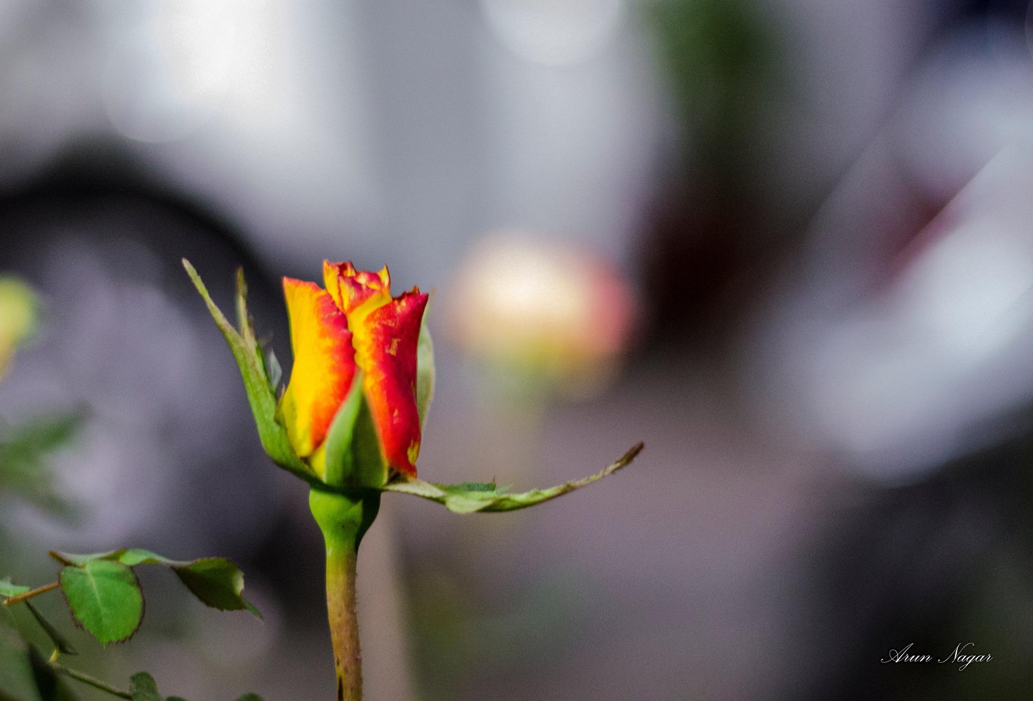 Tomorrow it will be called Rose by Arun Nagar