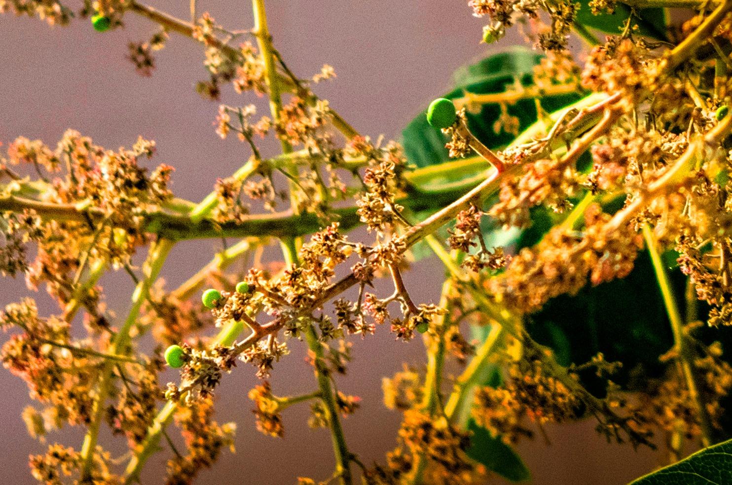"""""""Birth of Mango"""" 1/2 by Arun Nagar"""