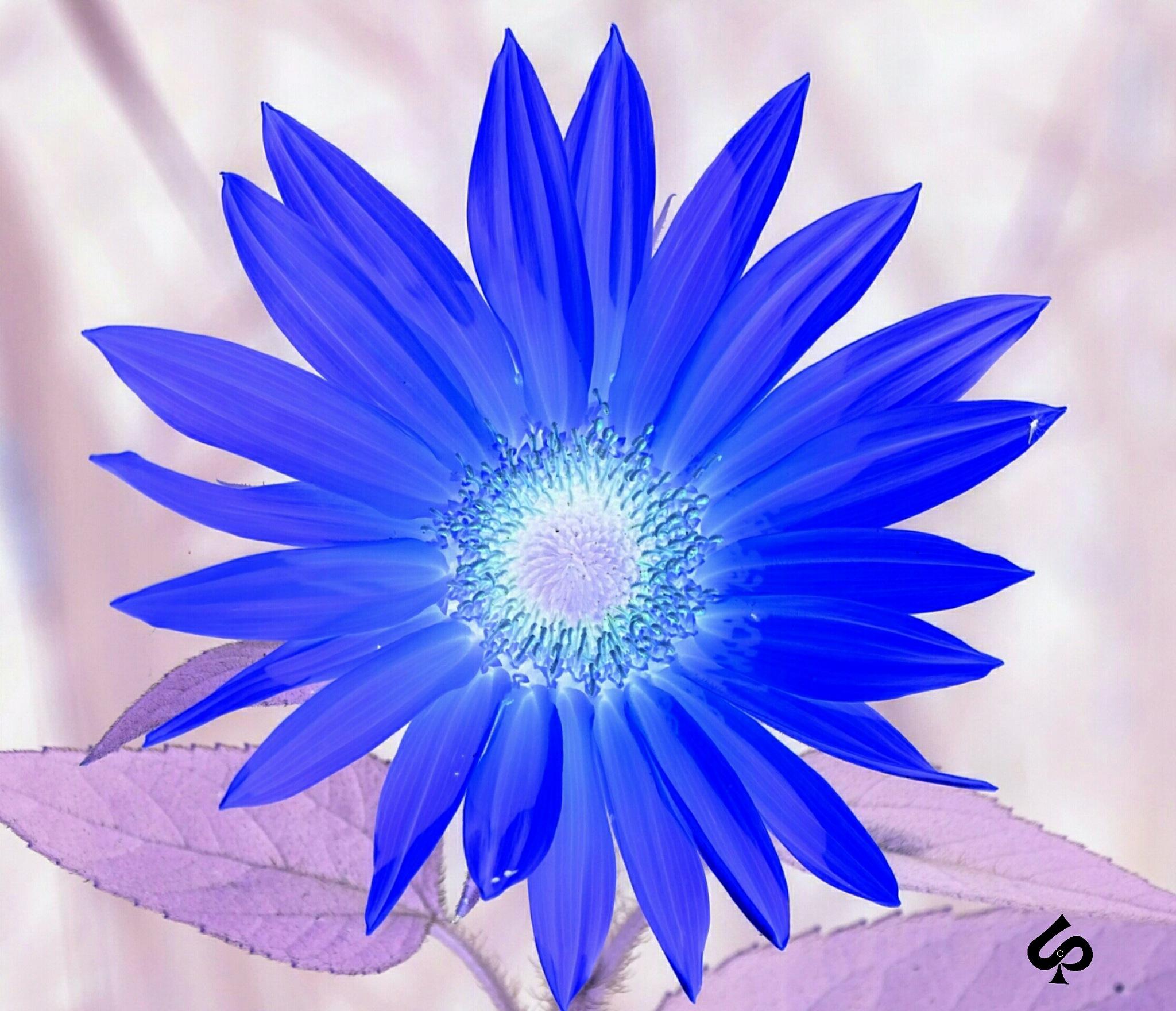Négatif flower dandelion  by Isa Bel