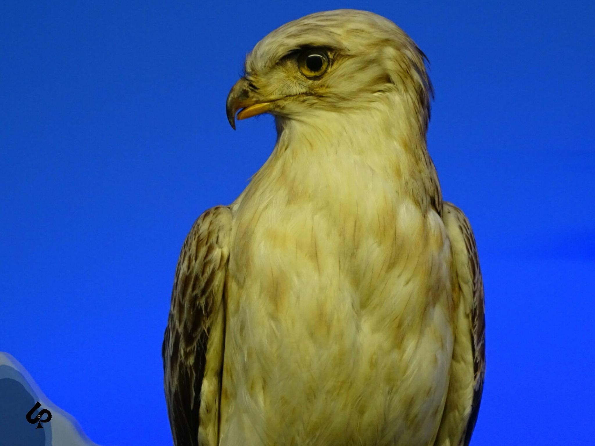 Eagle  by Isa Bel
