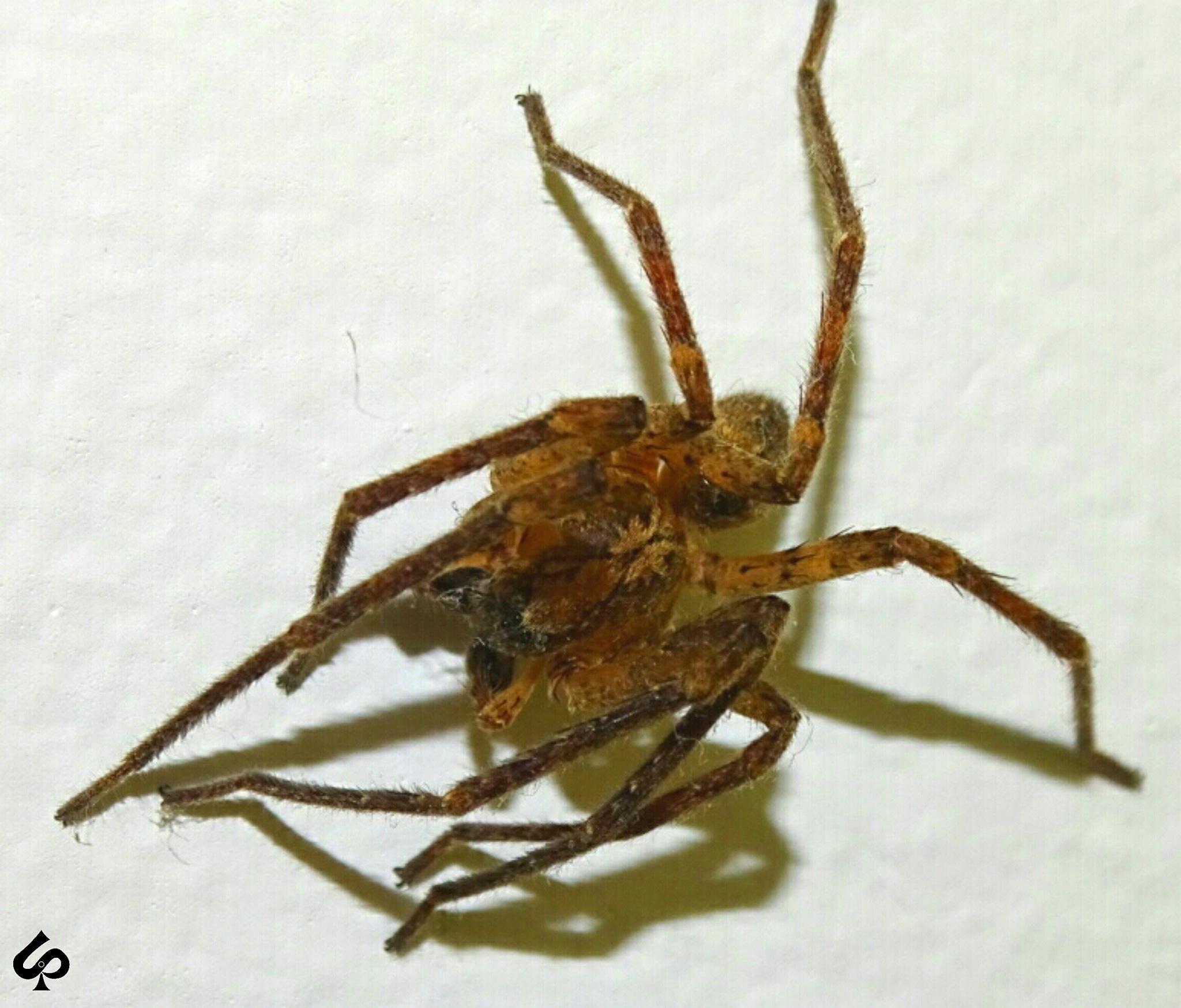 spider spider  by Isa Bel