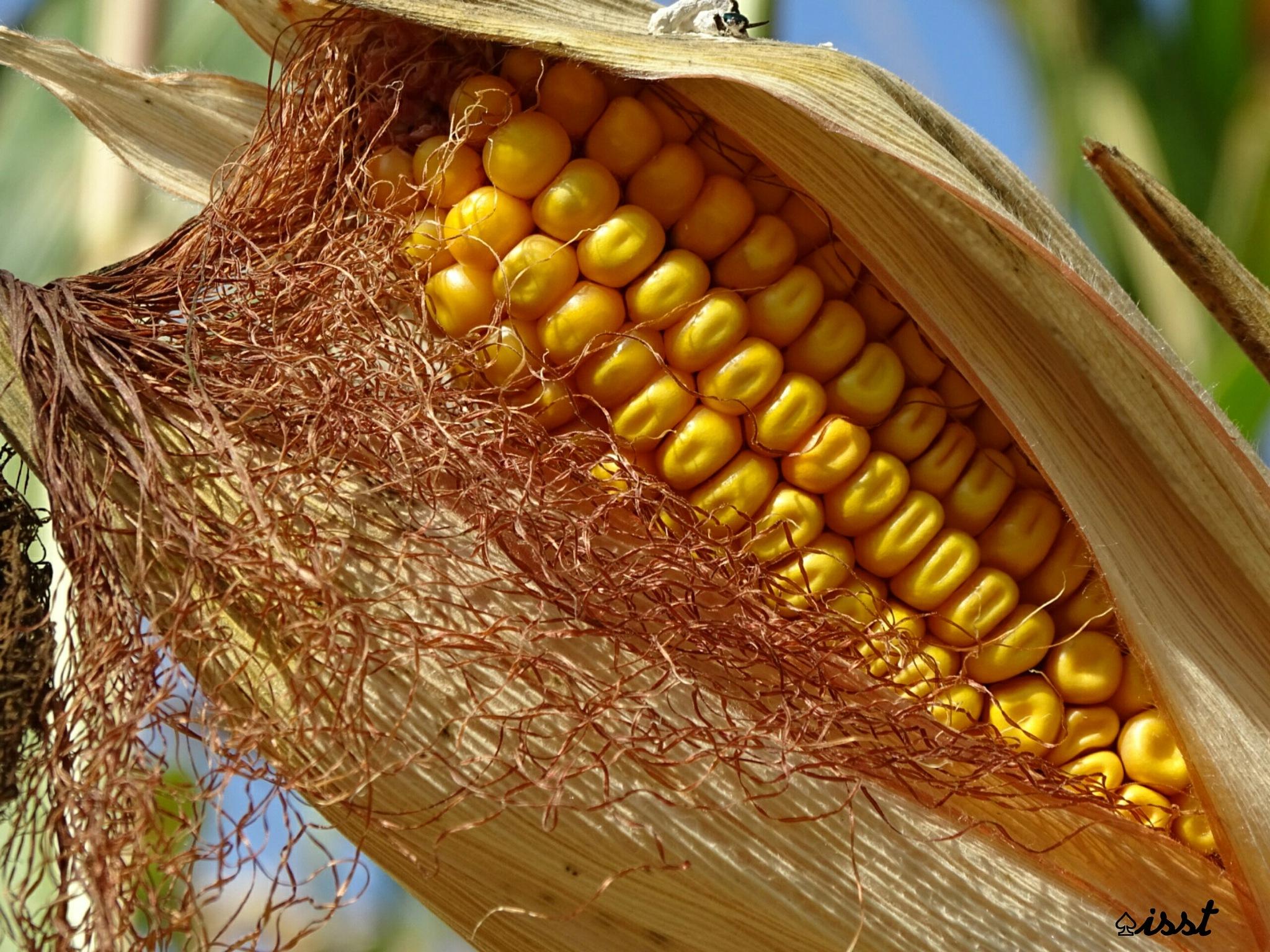 Corn by Isa Bel