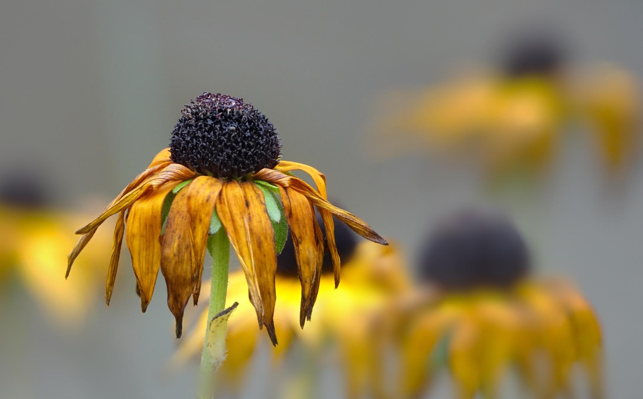fading flower by Joansusan