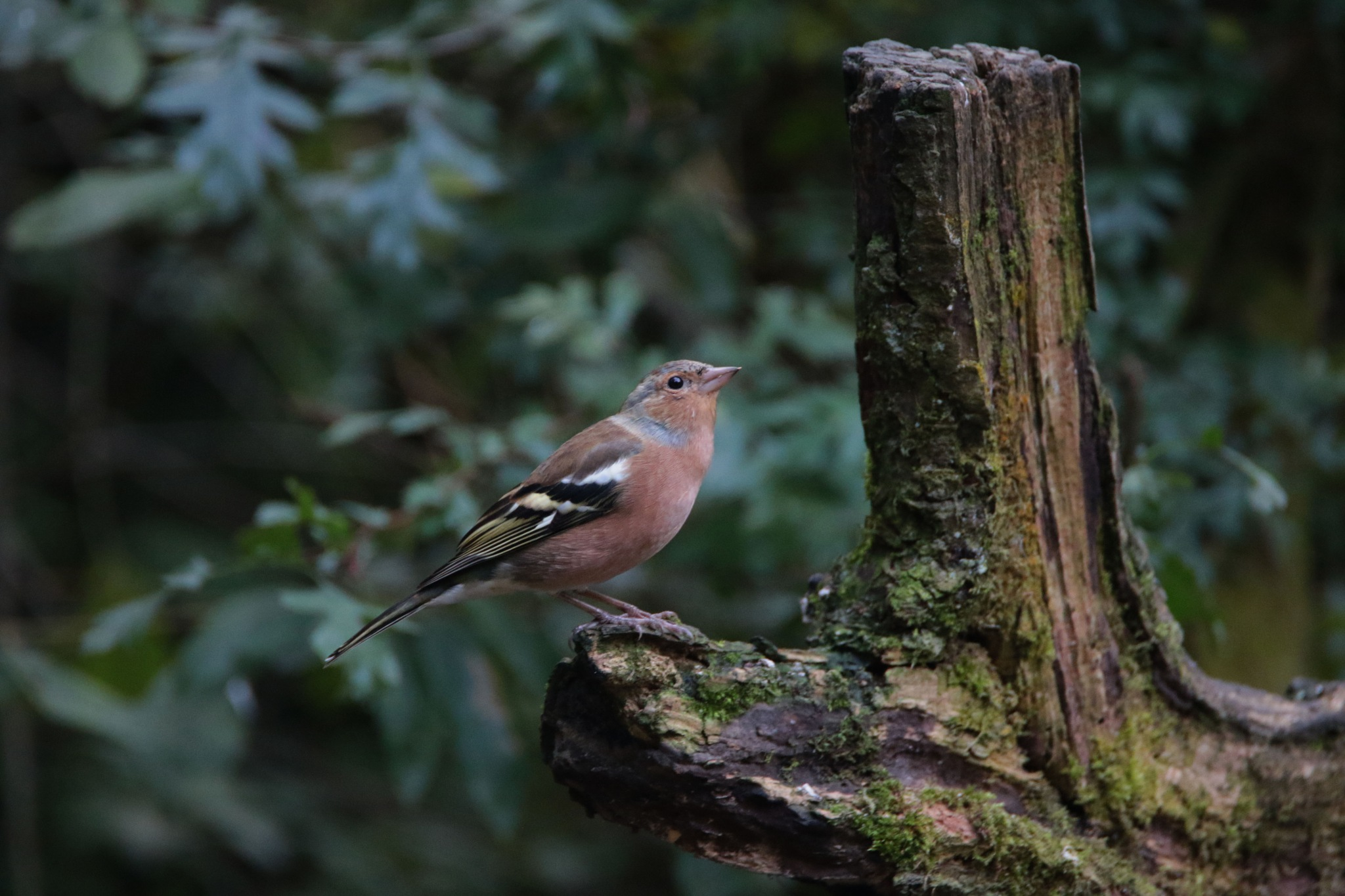 Chaffinch  by Joansusan