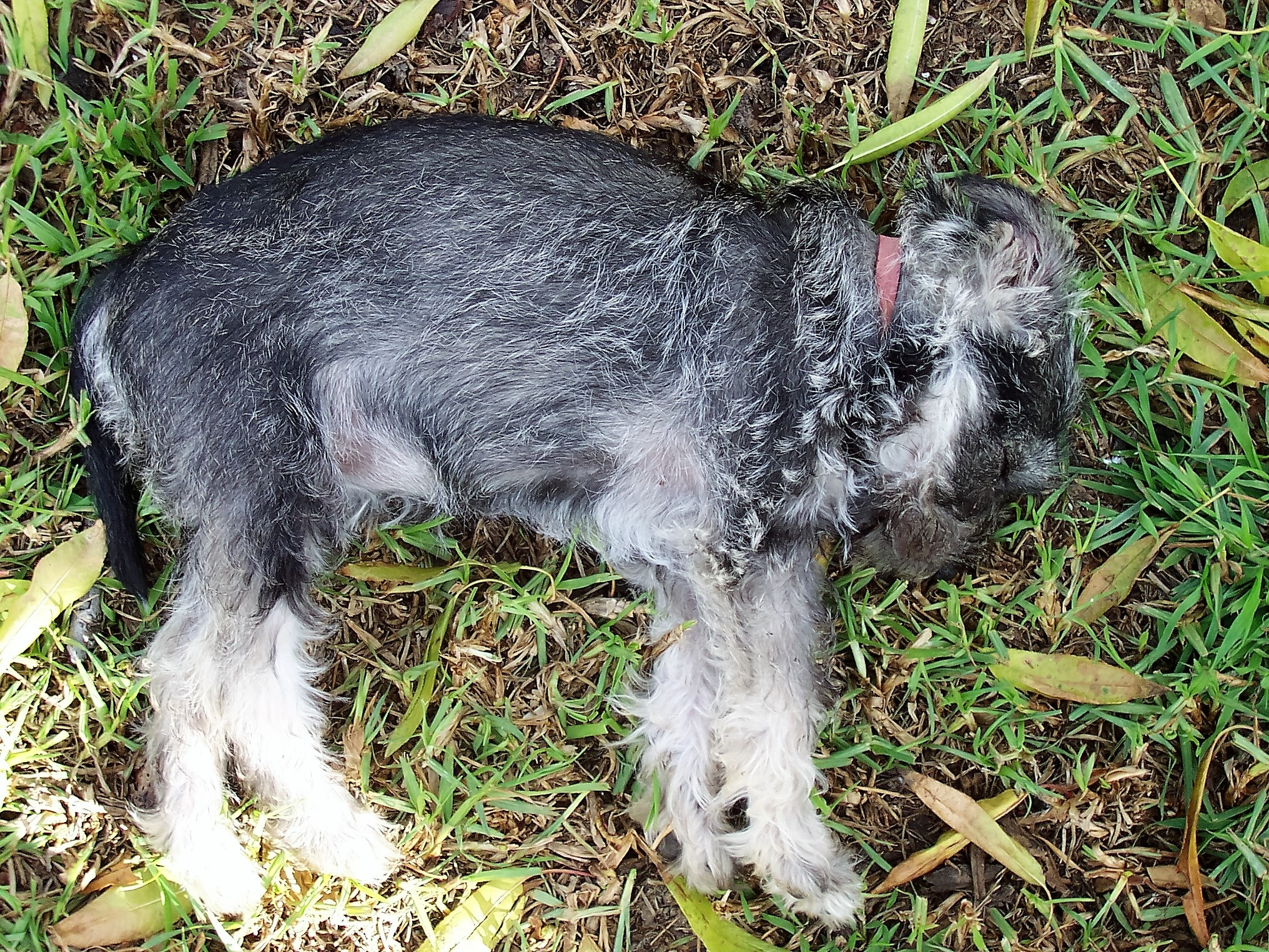 Molly the Miniature Schnauzer Stretching Out (8) by Robyn Clifton