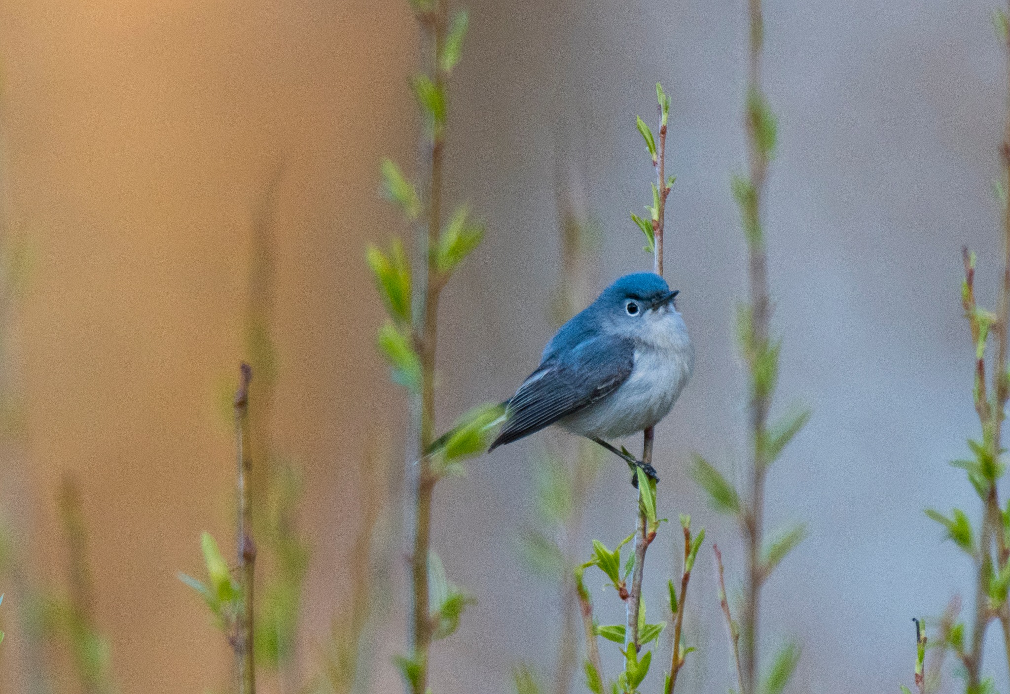 Bluegray nat catcher by FJWalker