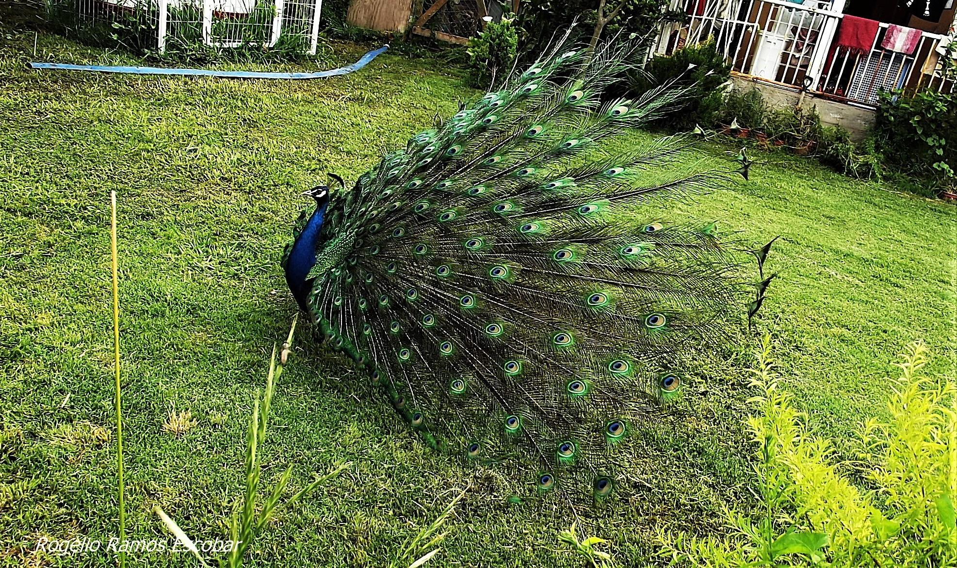 Pavo real by Rogelio Ramos Escobar