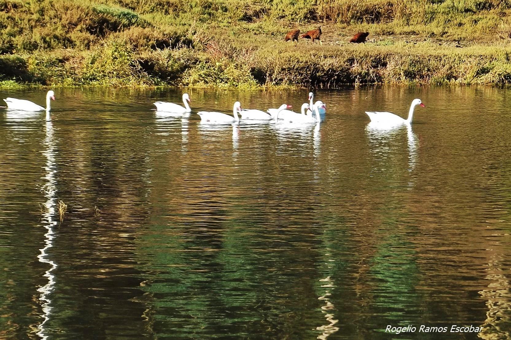 Gallinas y cisnes by Rogelio Ramos Escobar