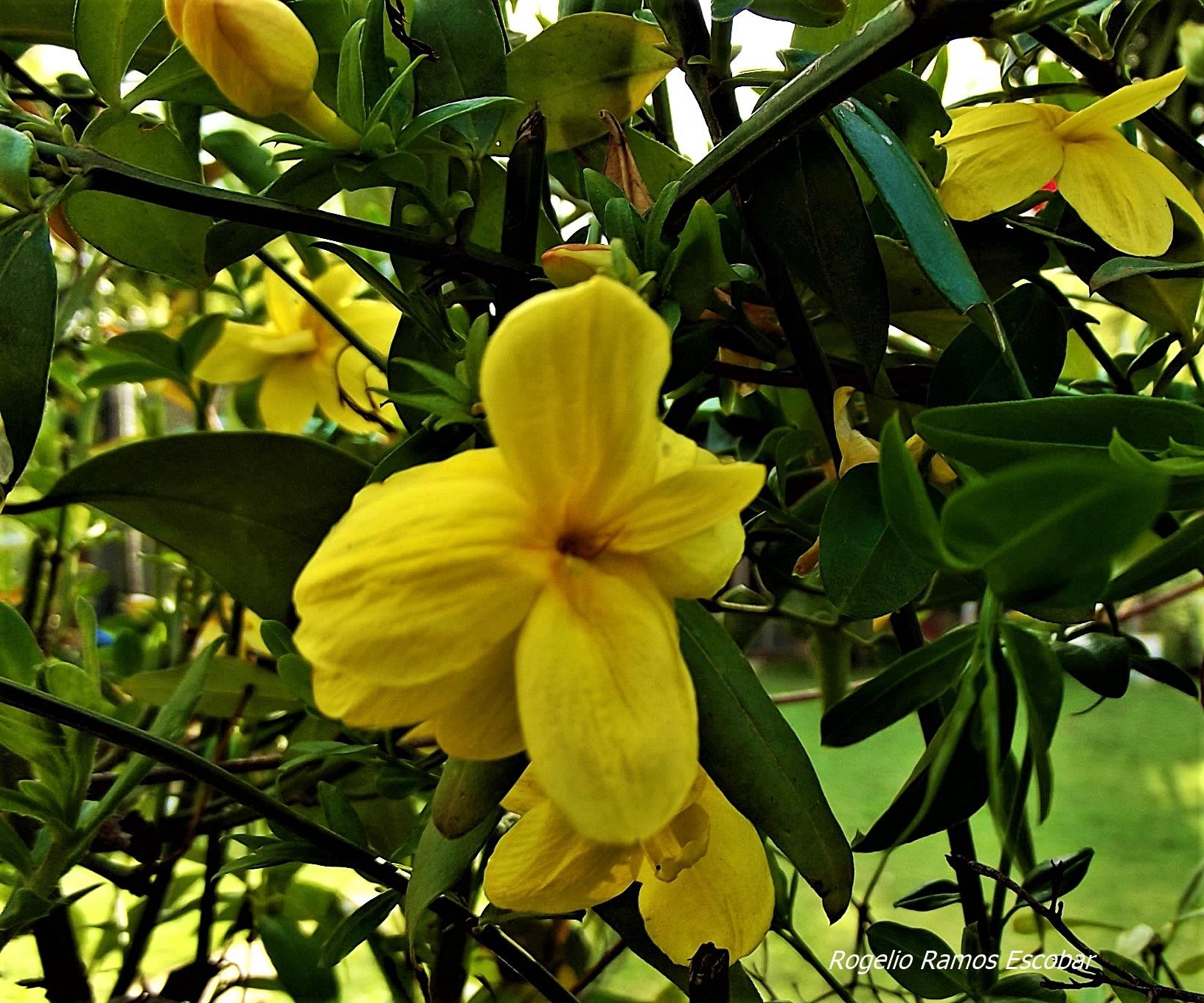Hermosura amarilla by Rogelio Ramos Escobar