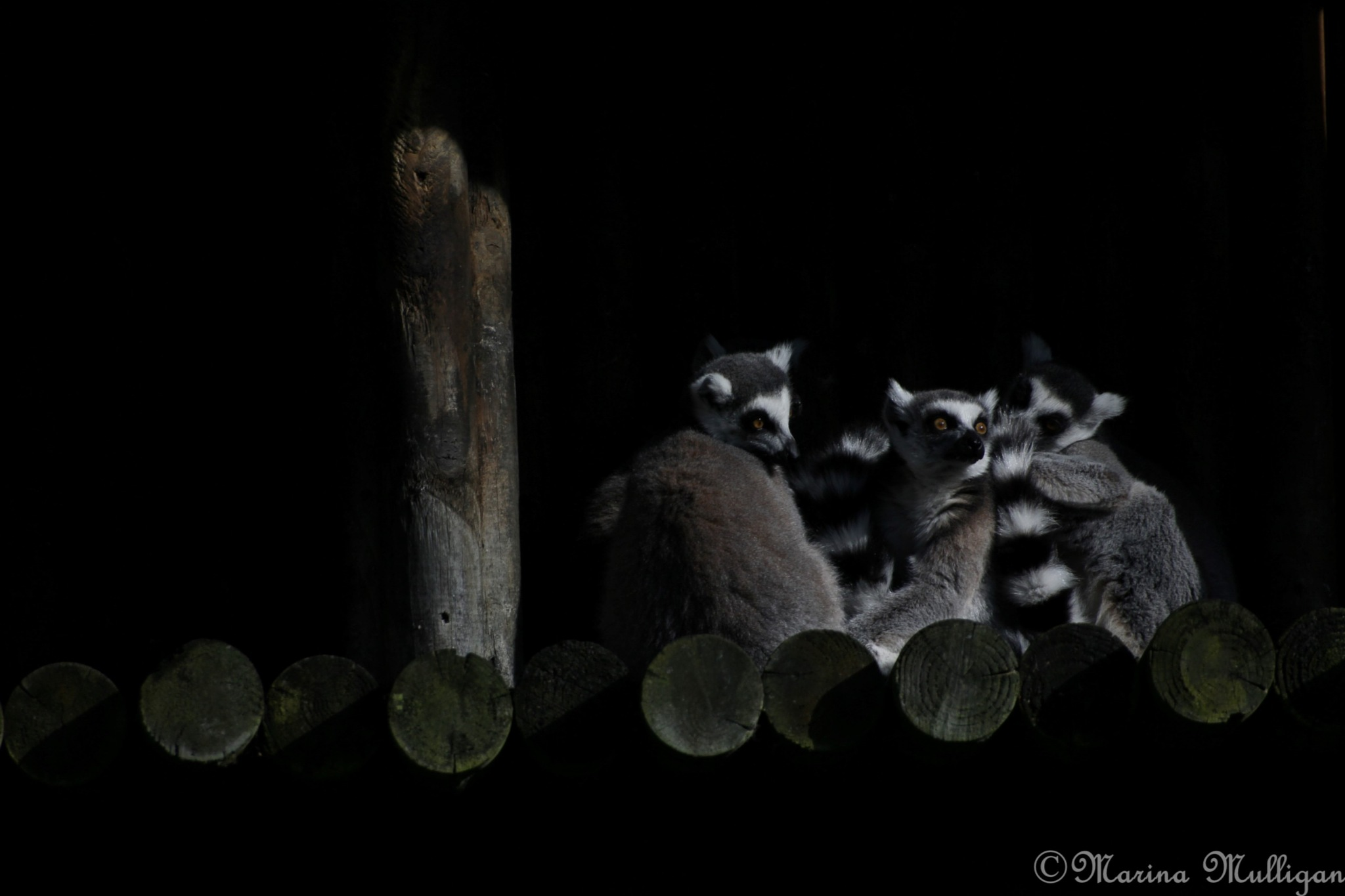 Ring-tailed lemurs (unedited) by marina_m