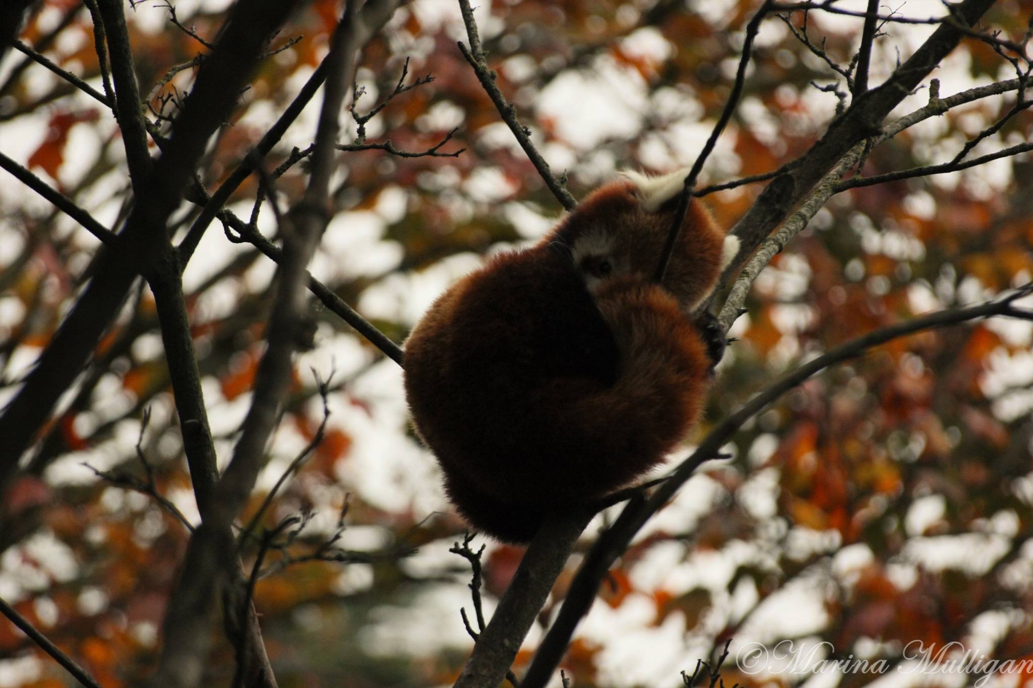 Red Panda in Autumn by marina_m