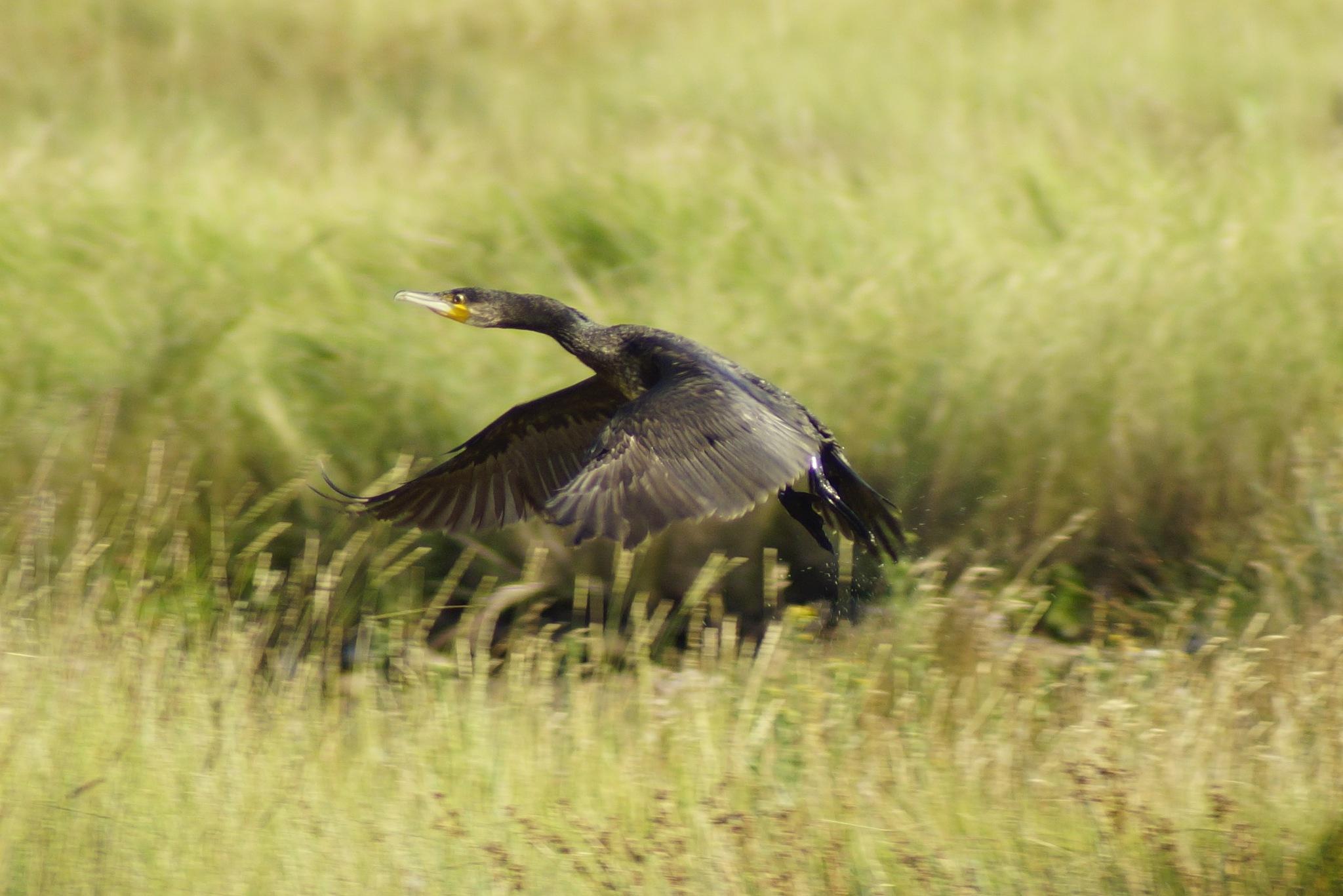 Cormorant by Graeme Gibson
