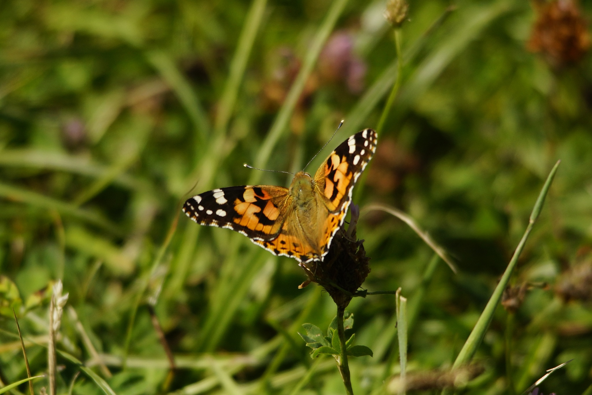 Butterfly by Graeme Gibson