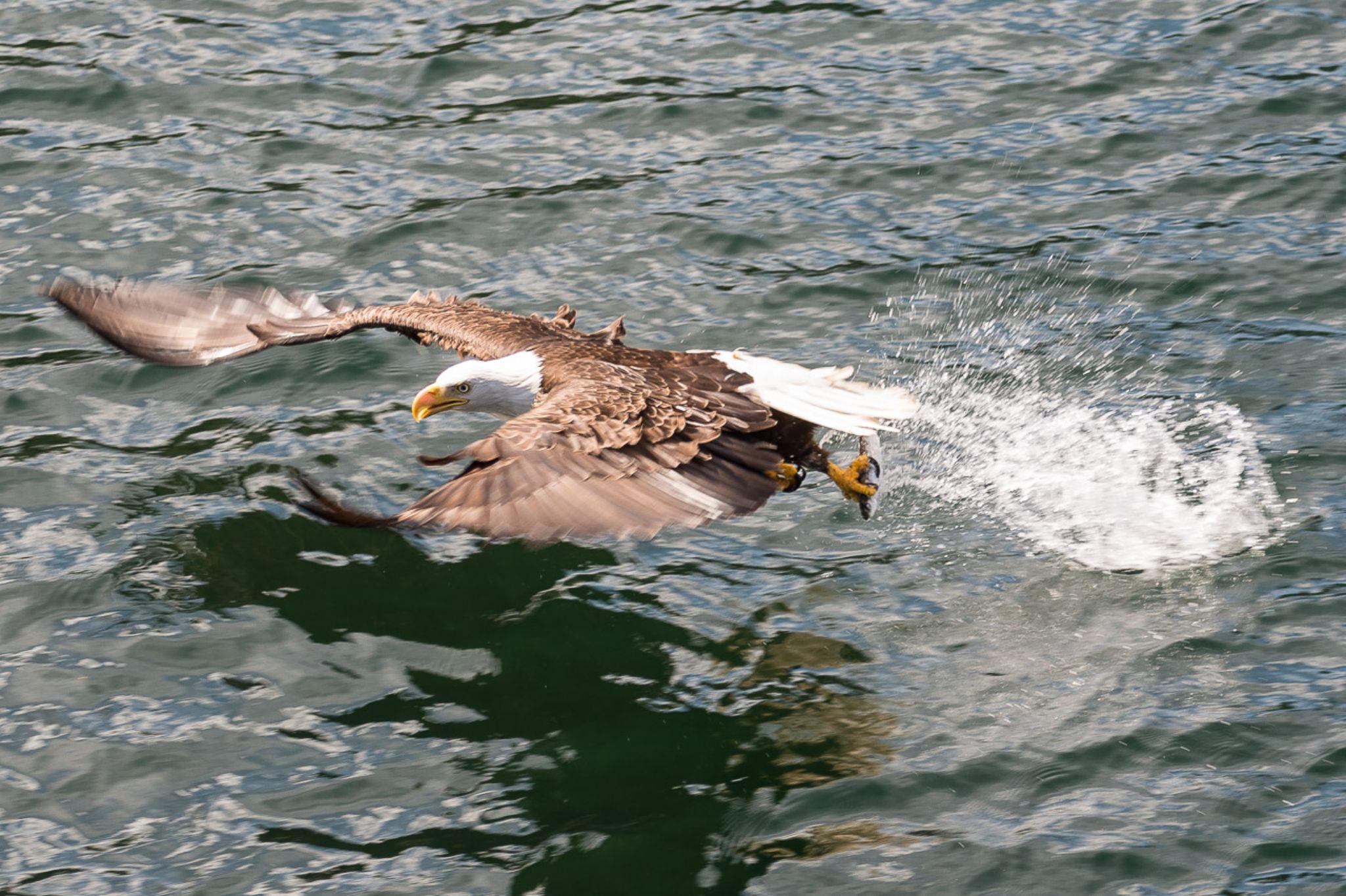 Eagles of Alaska by Garry Giesbrecht