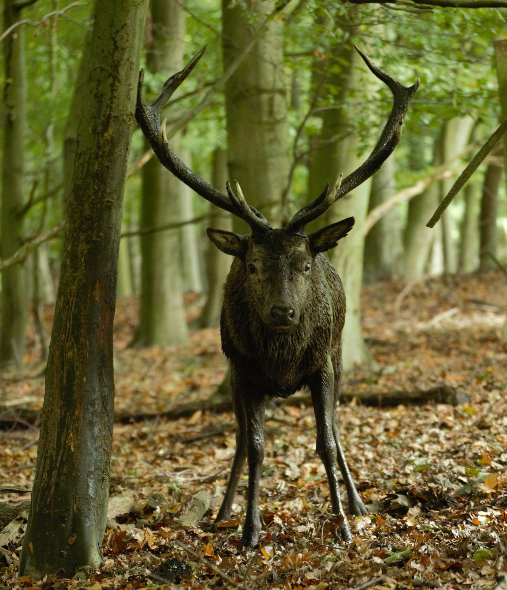 Stag by simie
