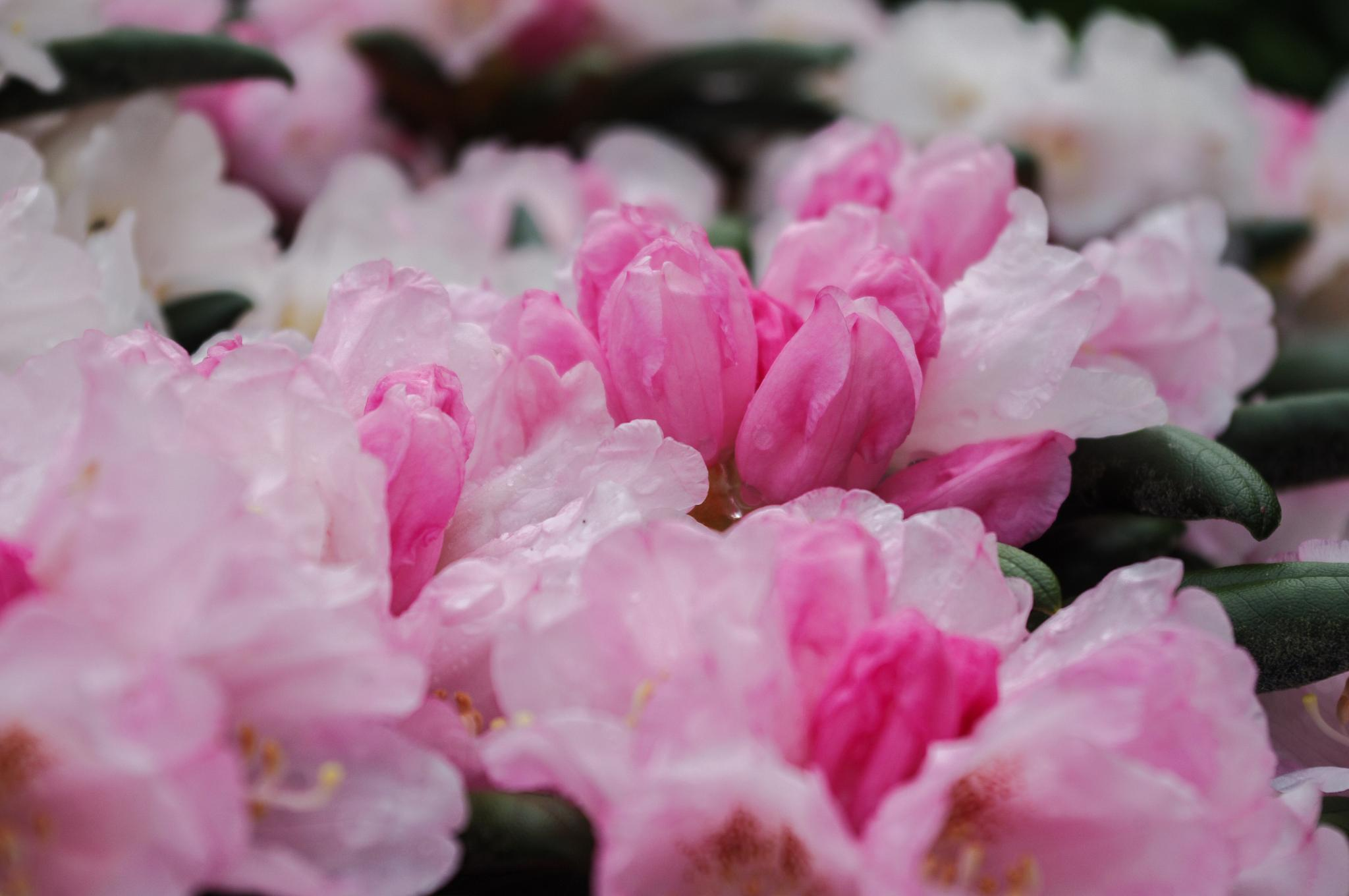 Rhododendrons after the rain by Mark Smith