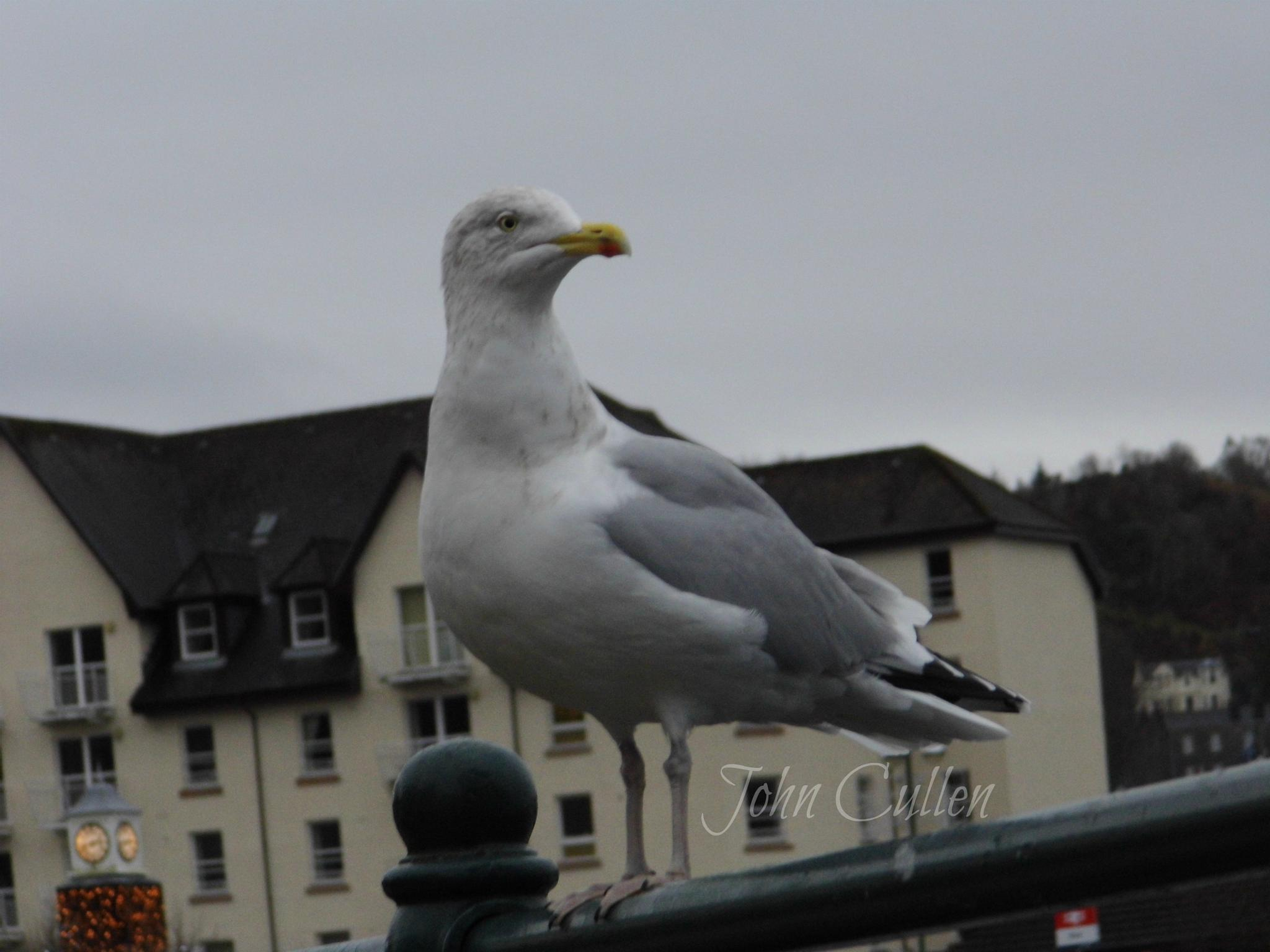 seagull in oban by John Cullen