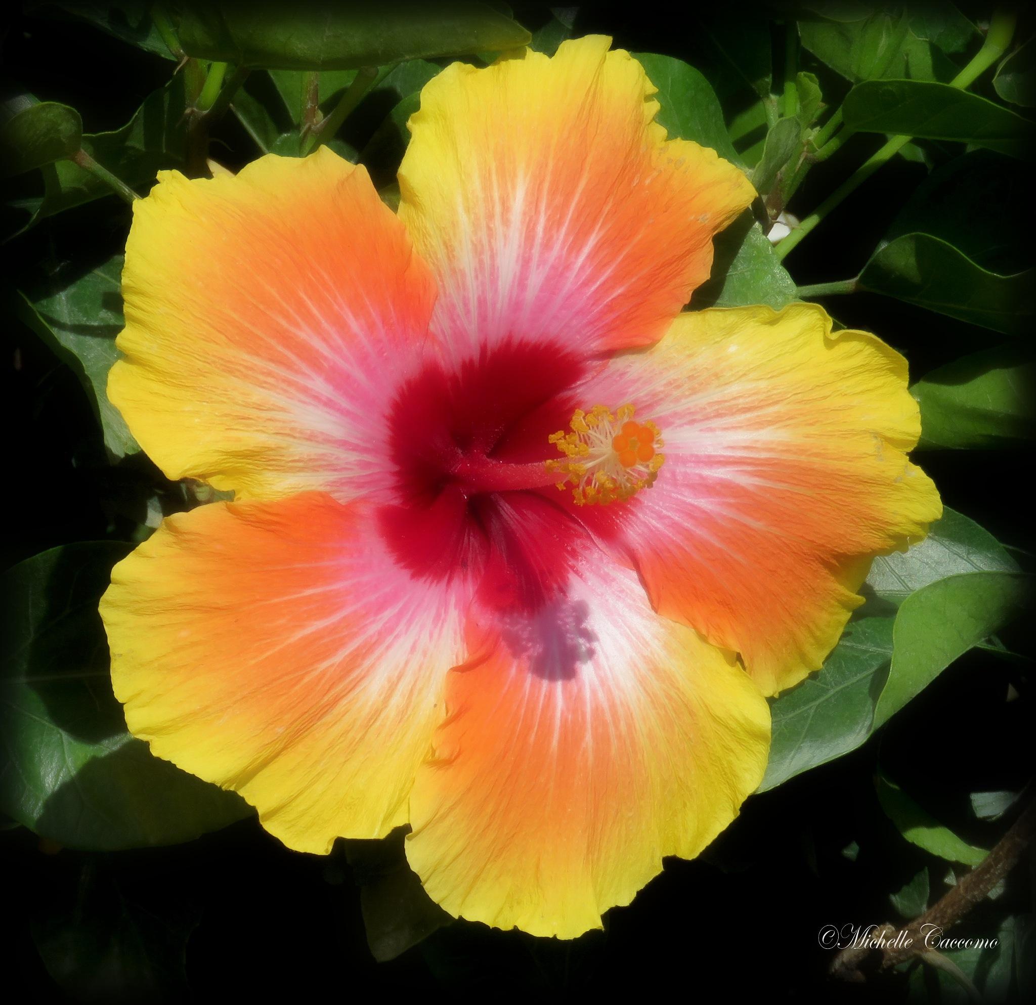 Lemonade Hibiscus  by Michelle Caccomo
