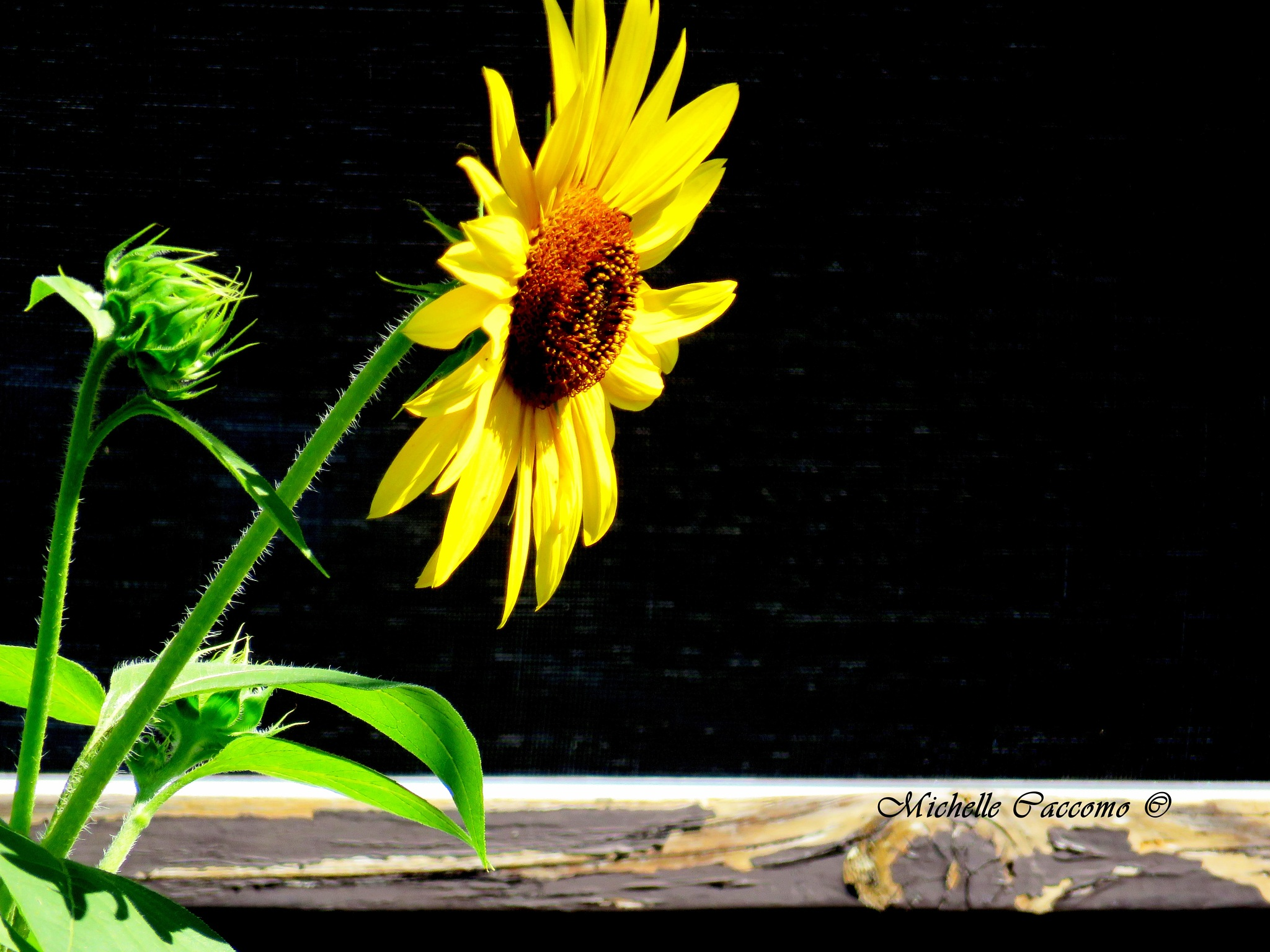 Cheerful Sunflower by Michelle Caccomo