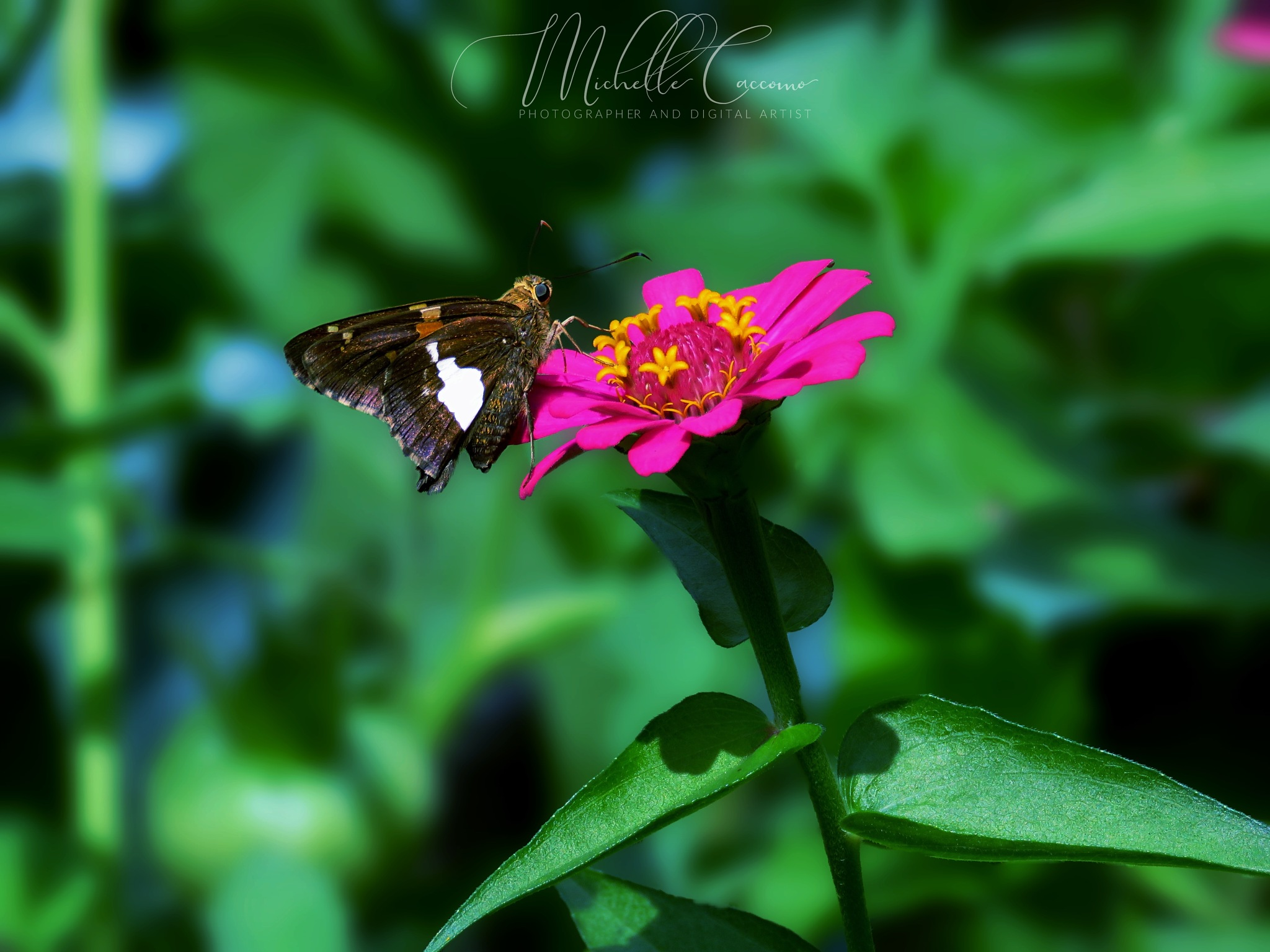 Painted Lady by Michelle Caccomo