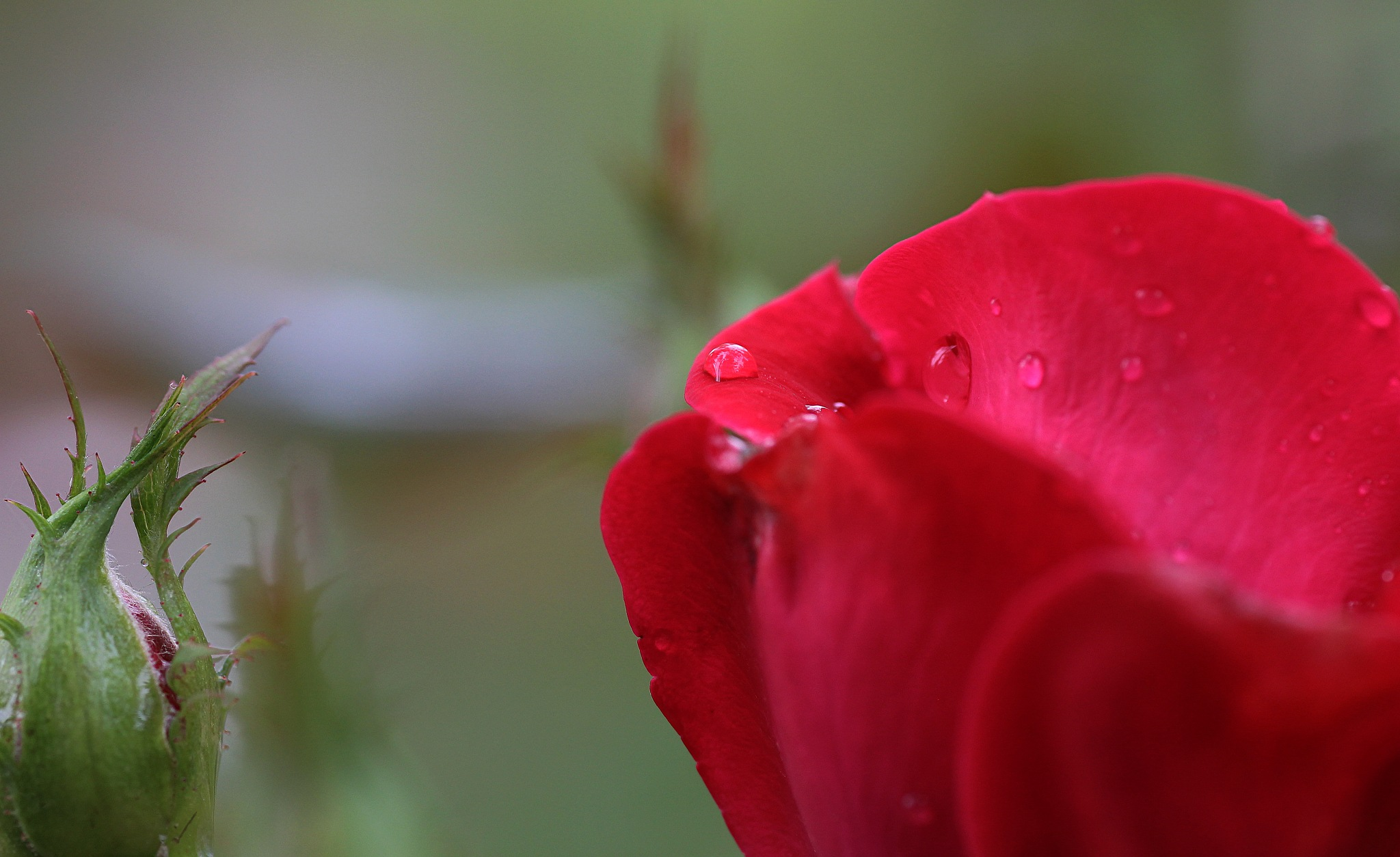 Morning red rose by Cachoublond