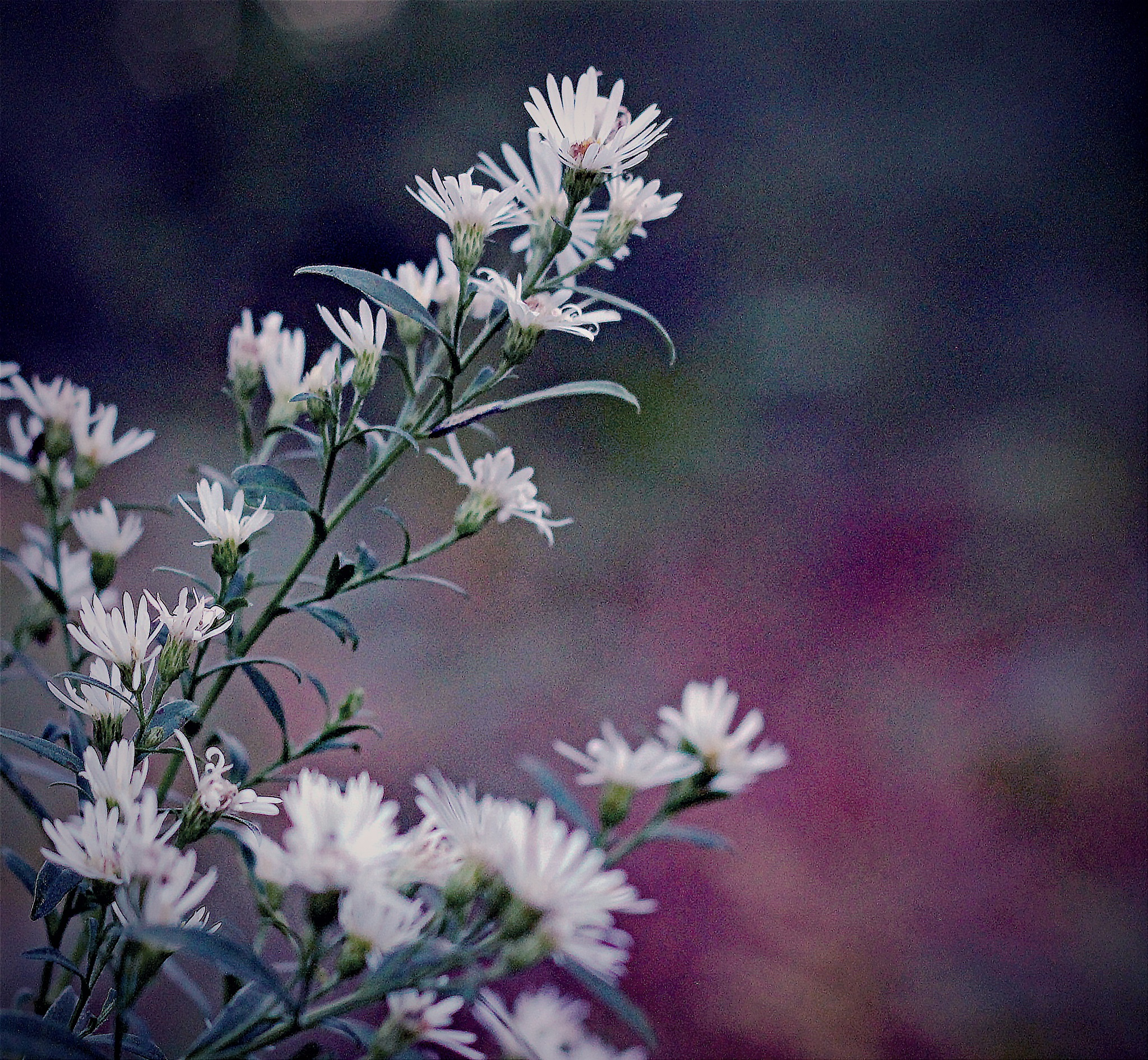 Soft white flowers! by Cachoublond