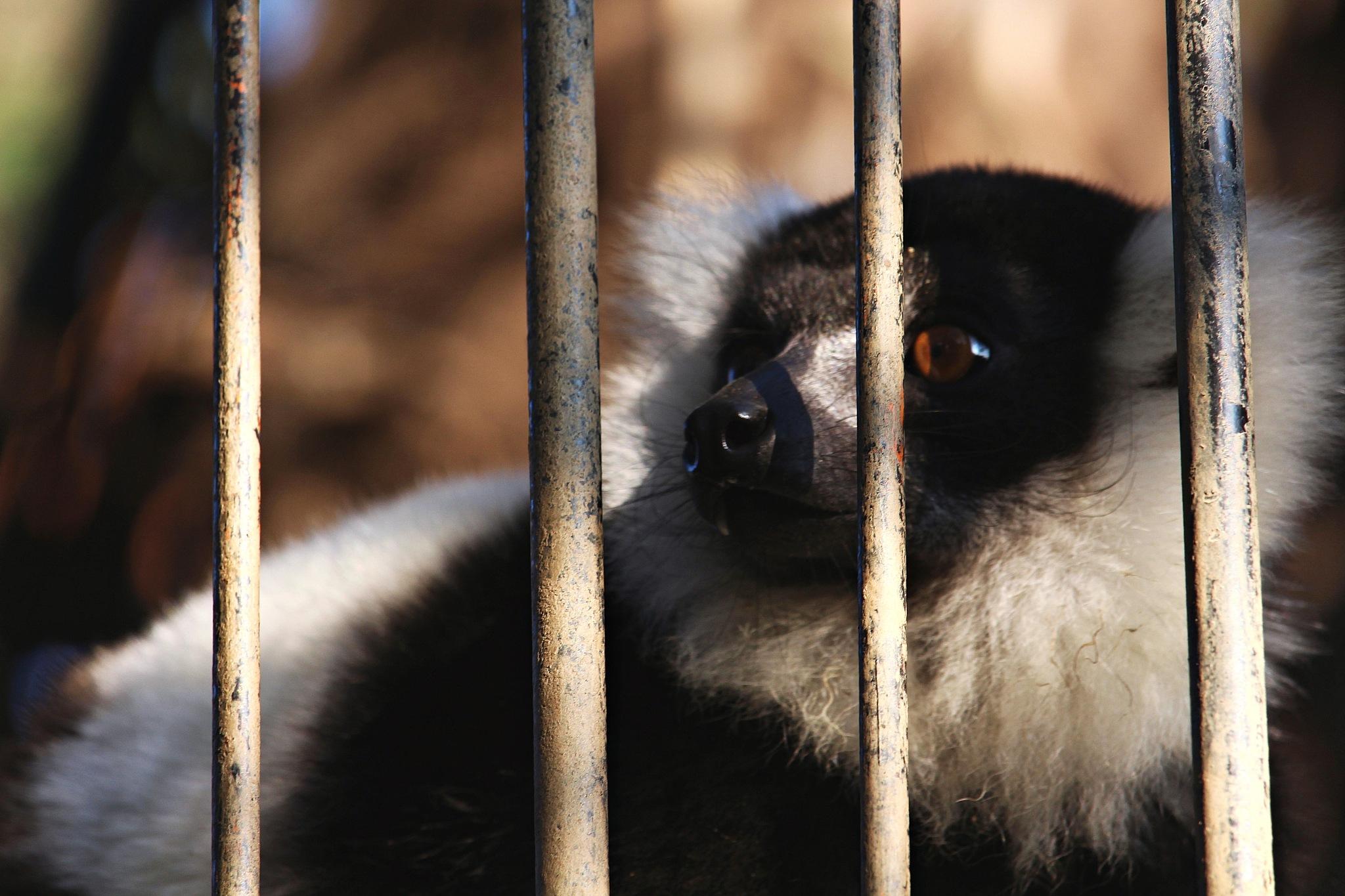 Creative lemurs by Giuseppe Criseo