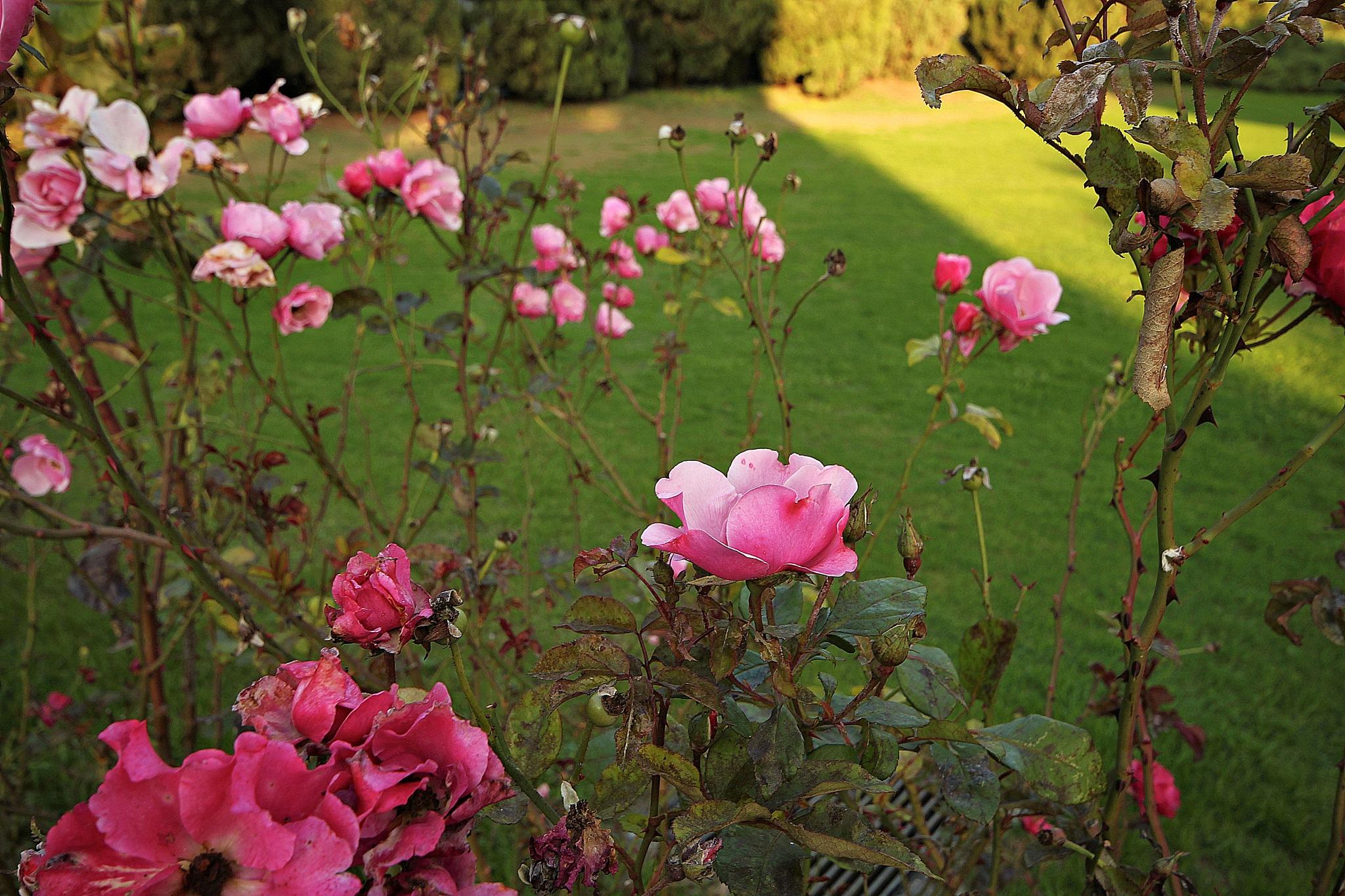 The rose garden by Giuseppe Criseo