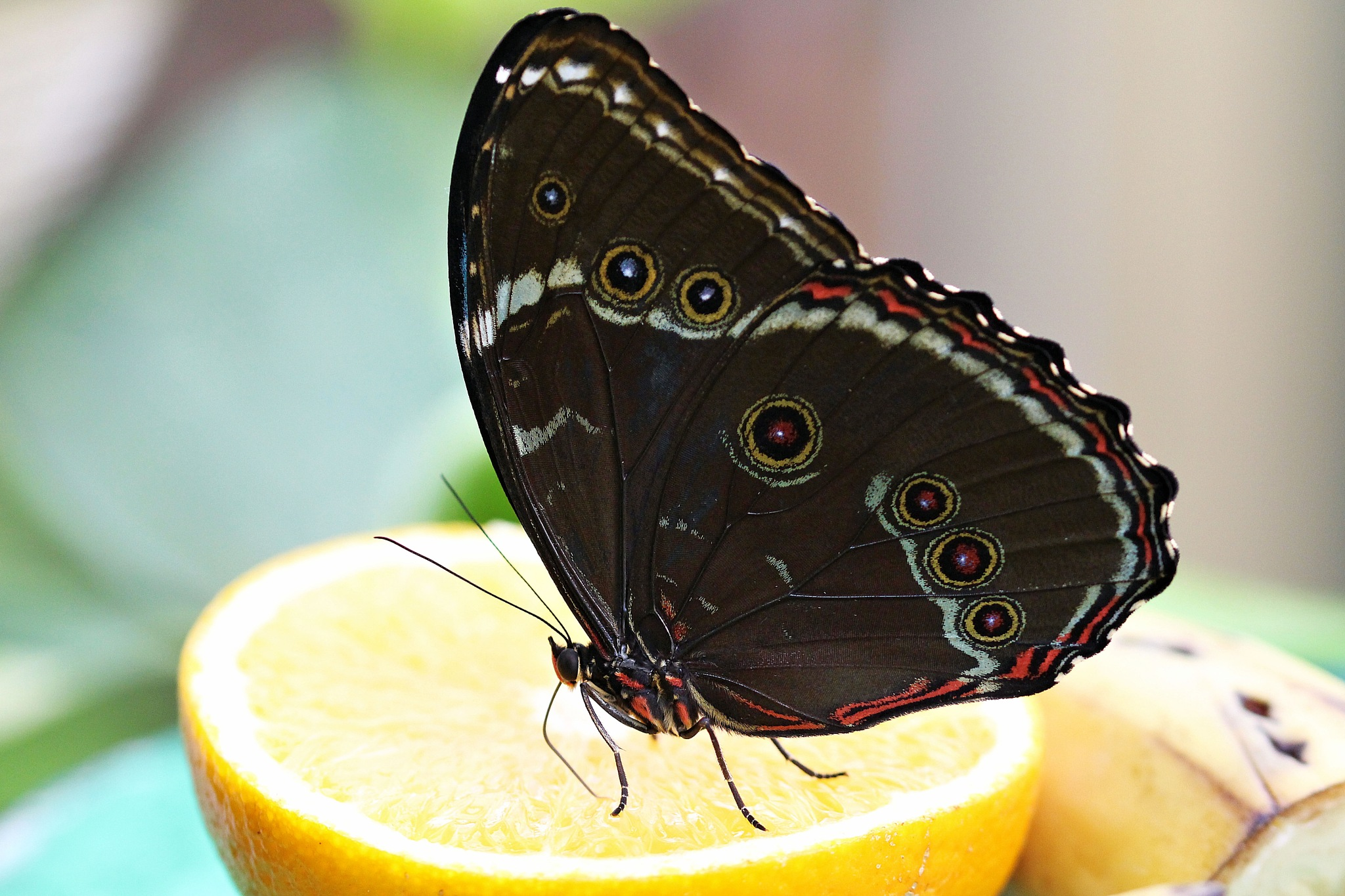 Madame butterfly by Giuseppe Criseo