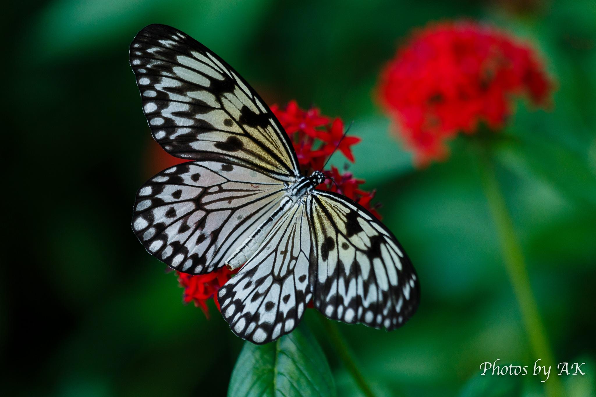 butterfly by Keyaurisdad