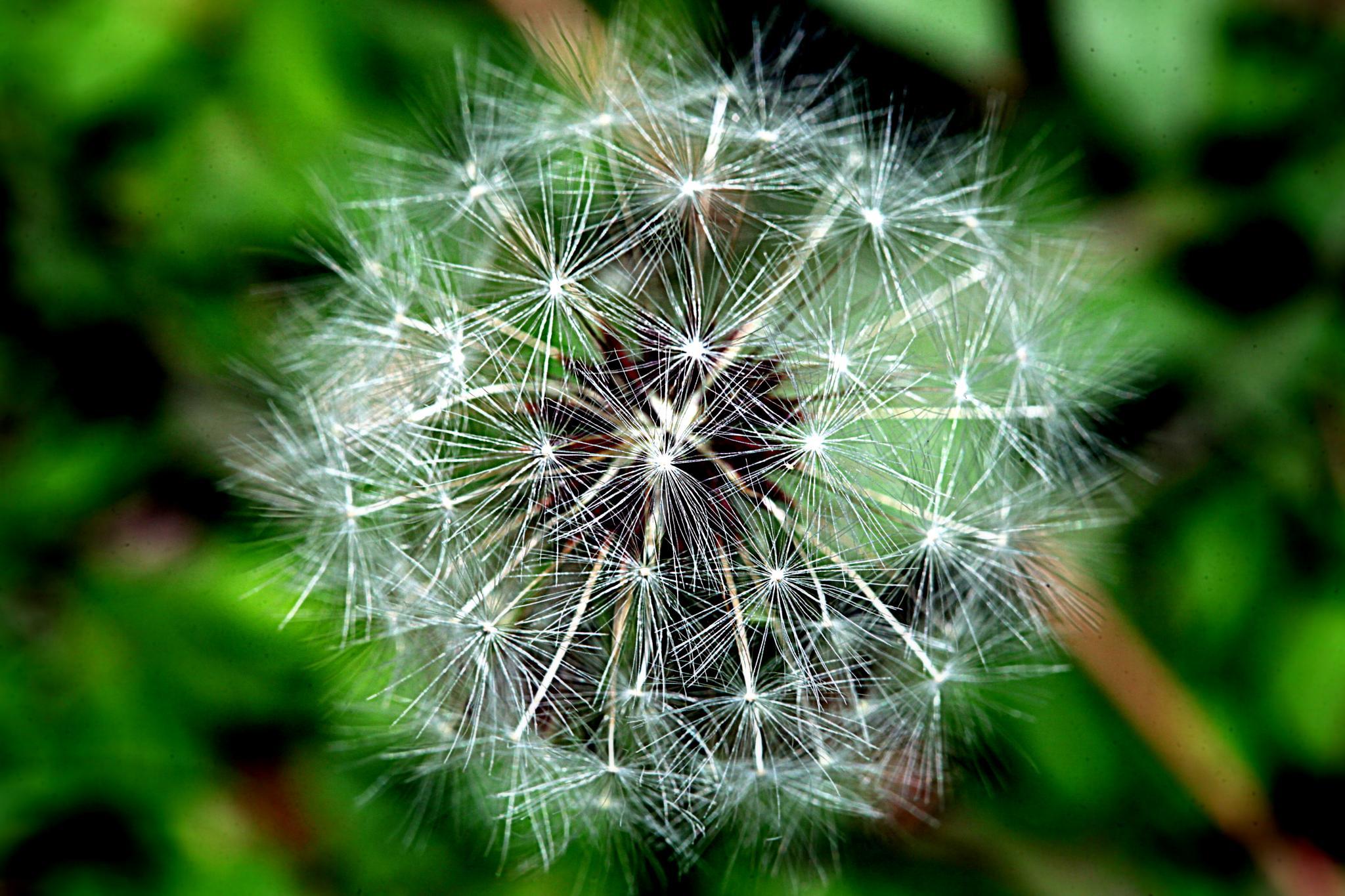 Dandelion by Christo Smith