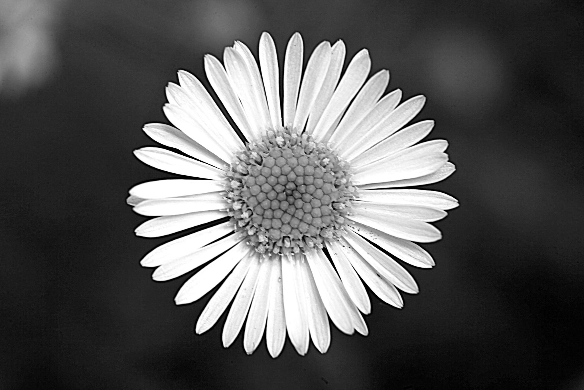 Simple Daisy in BW by Christo Smith