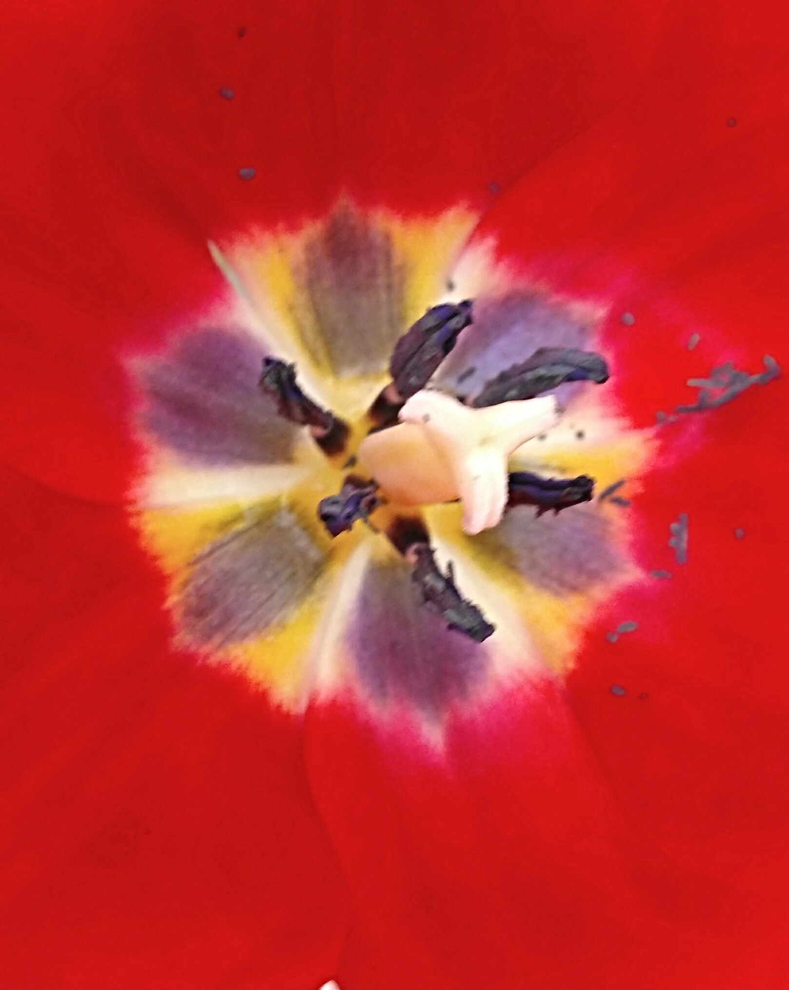 Tulipa vermelha. by Sirlei