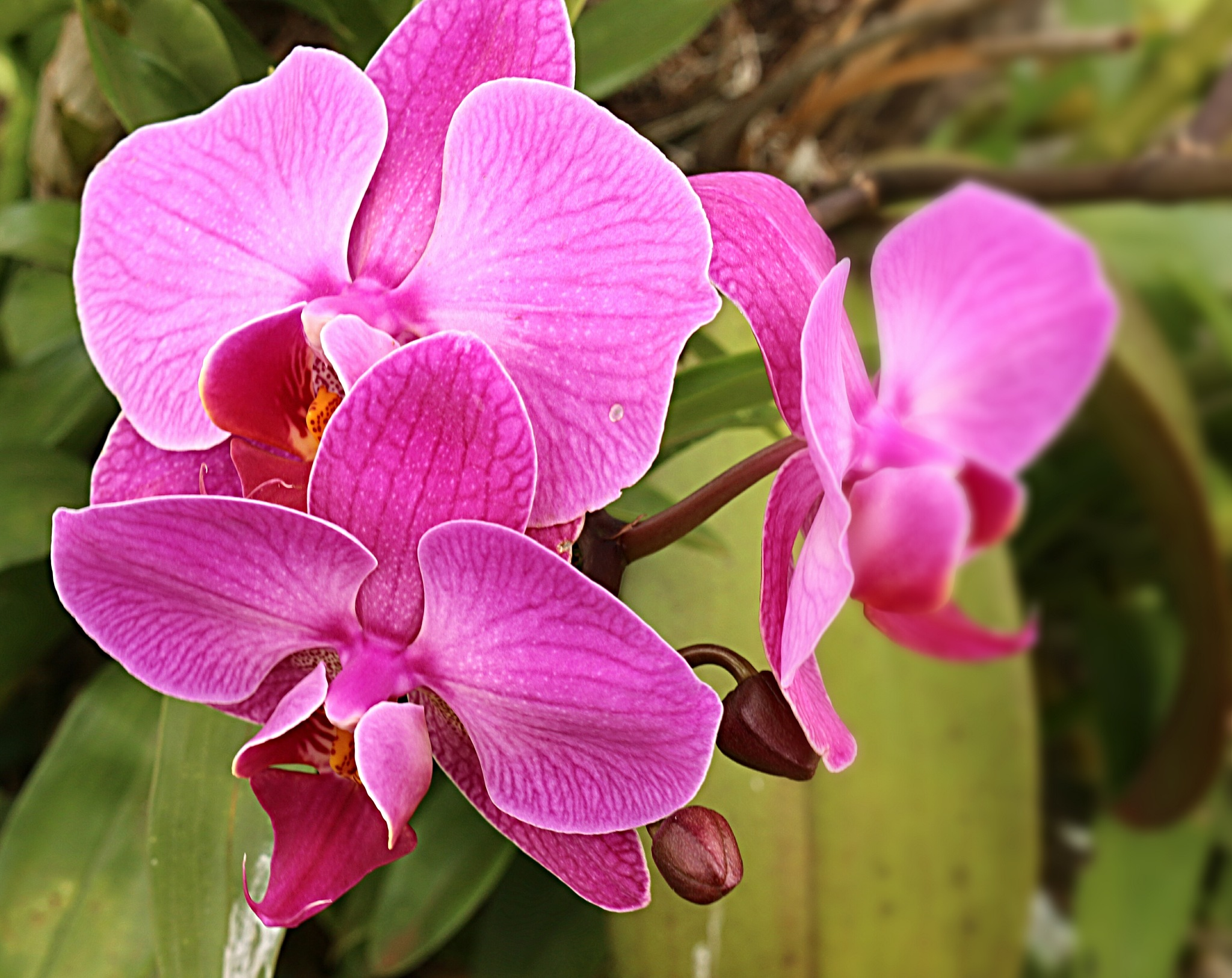 Phalaenopsis orchid by Sirlei