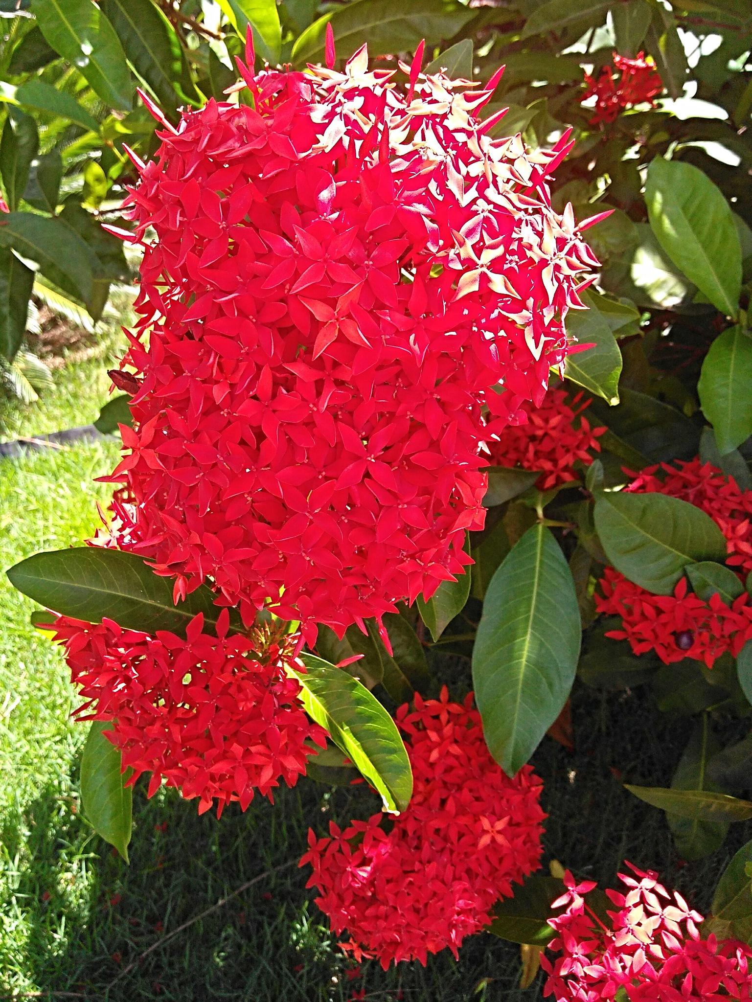 Flores vermelhas. by Sirlei