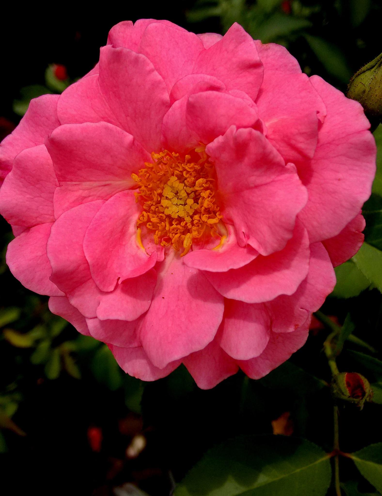 Photo in Nature #flores #jardim #rosas #natureza
