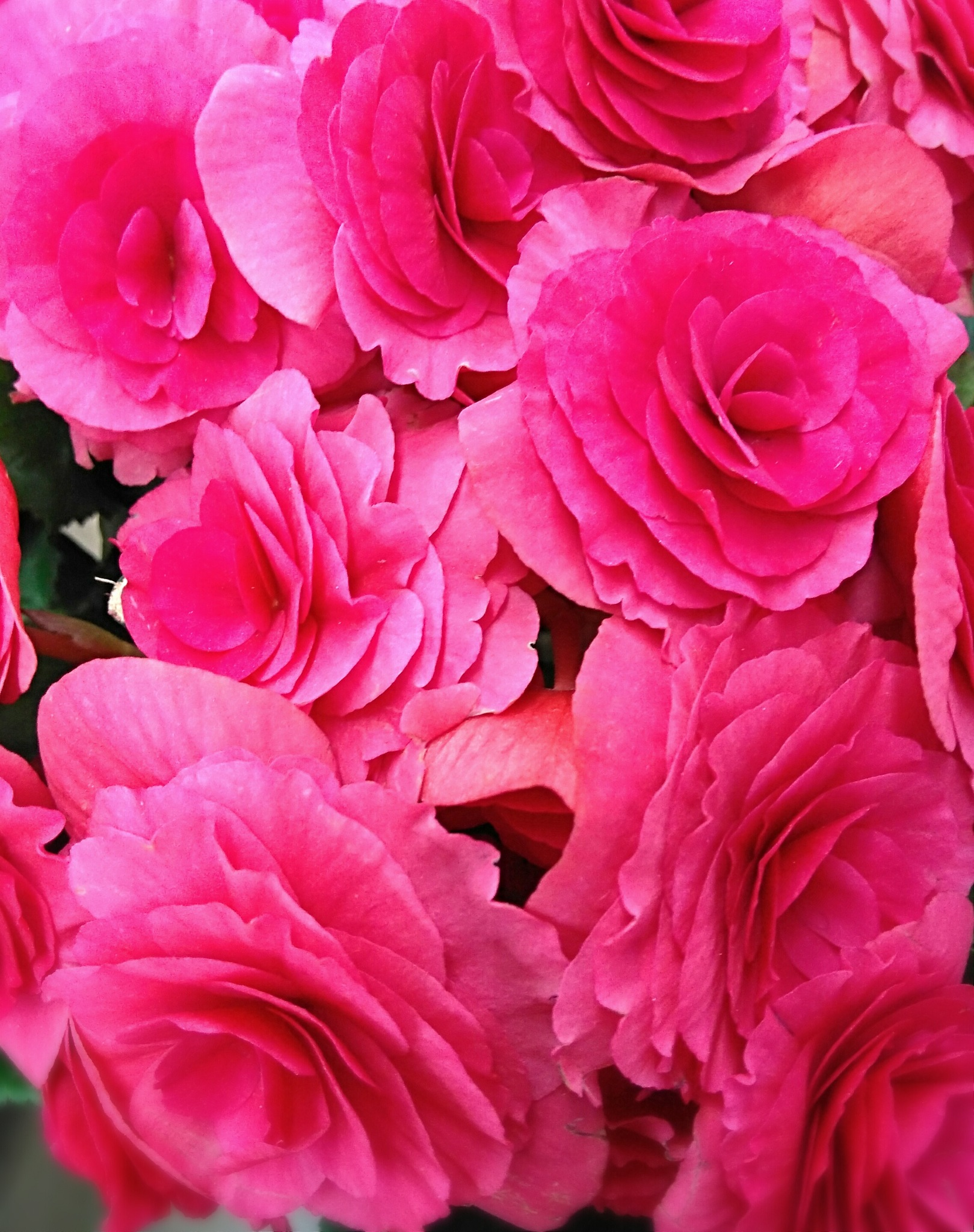 Prímula rosa by Sirlei