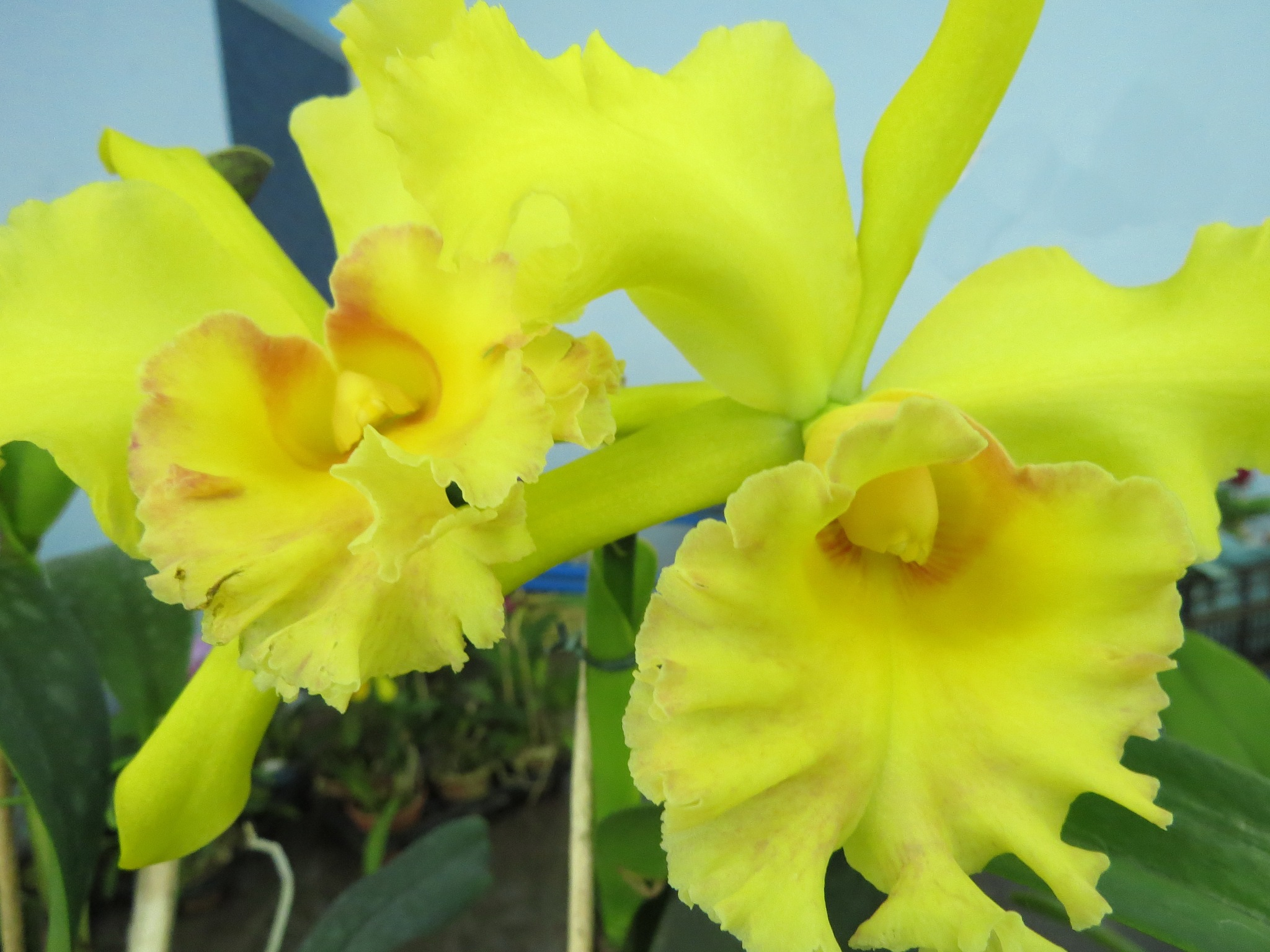 Cattleyas amarelas by Sirlei