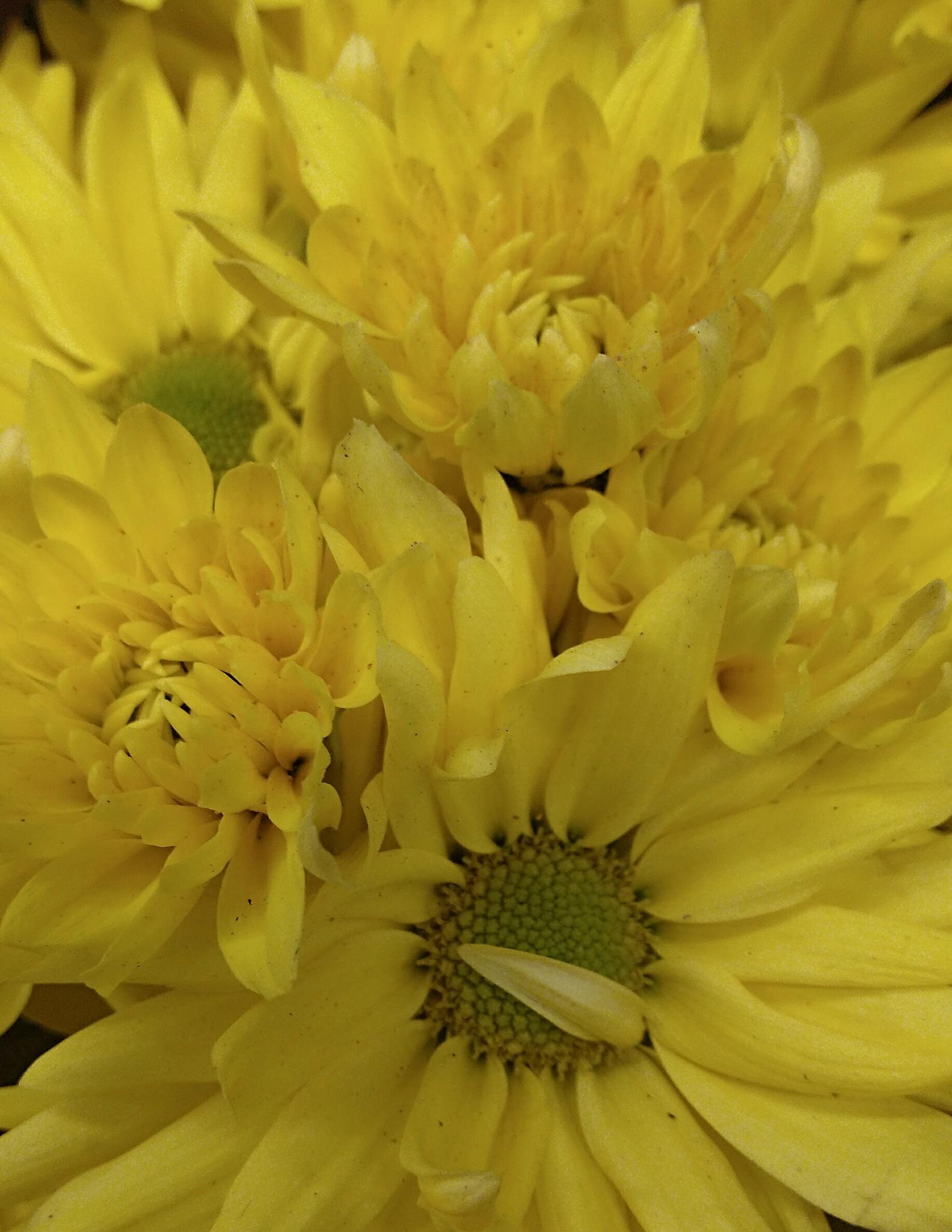 Crisântemo amarelo by Sirlei