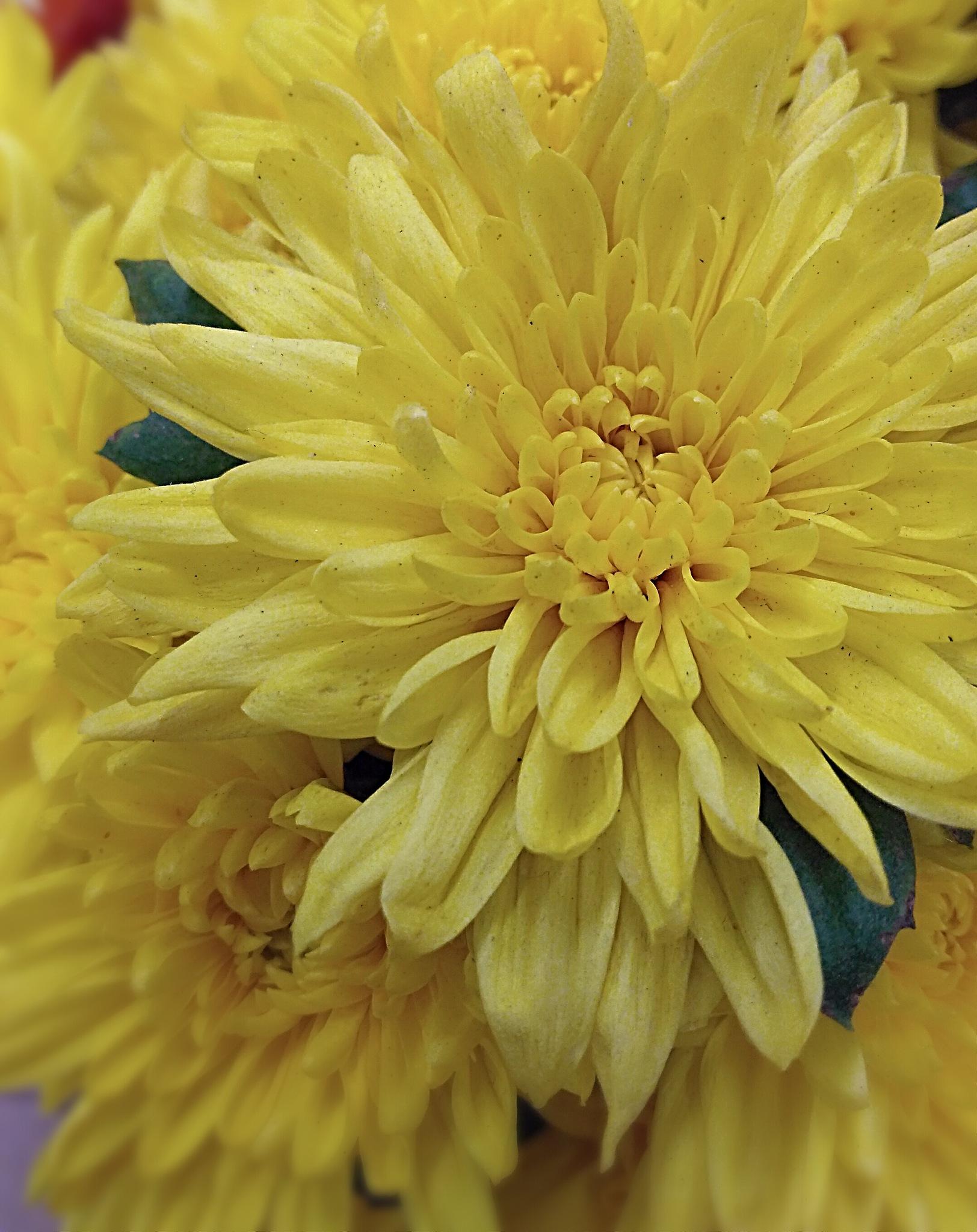 Yellow crisântemo. by Sirlei