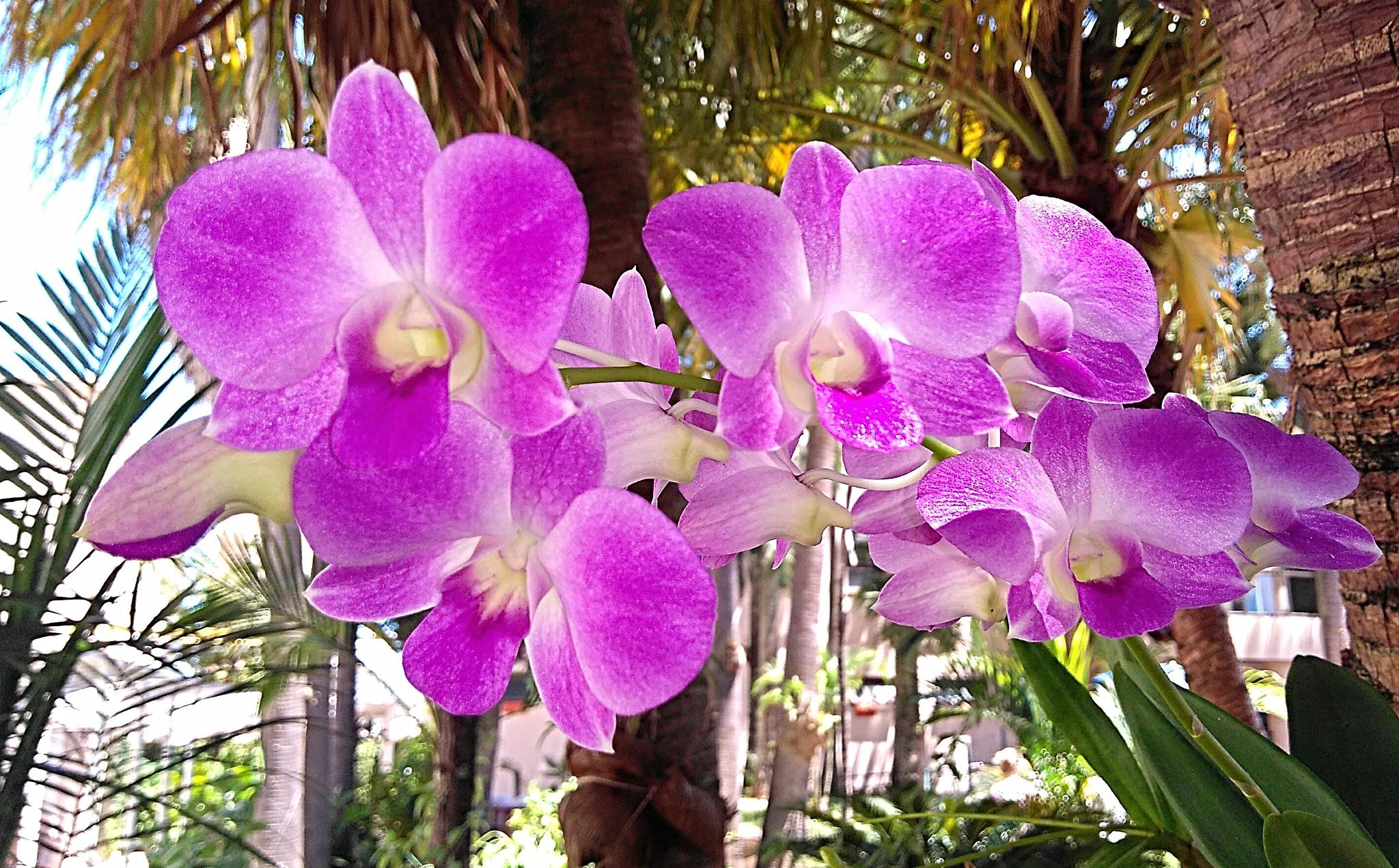 Orquídeas Denphal by Sirlei