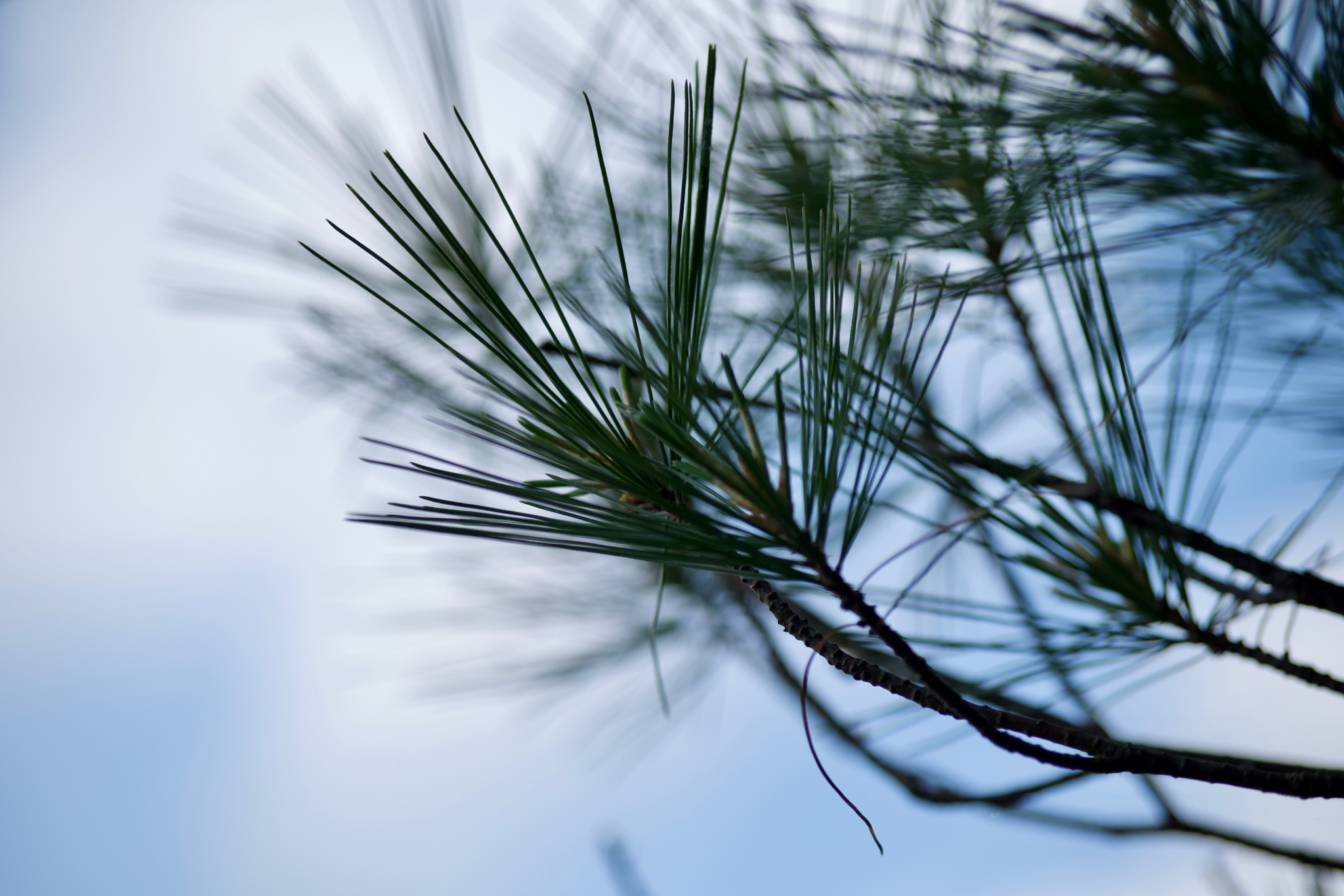 pine needles against sky by Virgilio de Carvalho