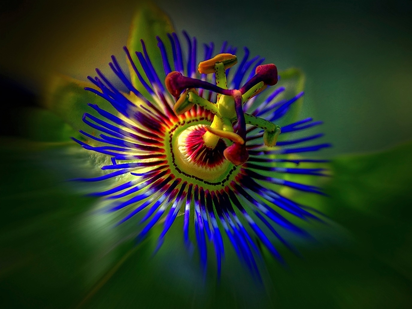Passiflora by zbych41