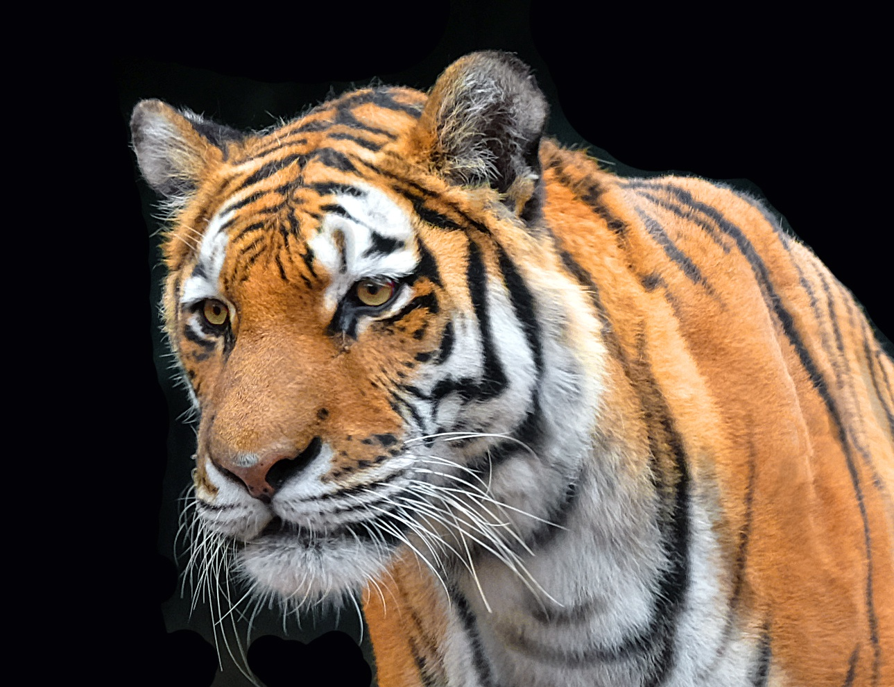 Milwaukee Tiger by butch.law