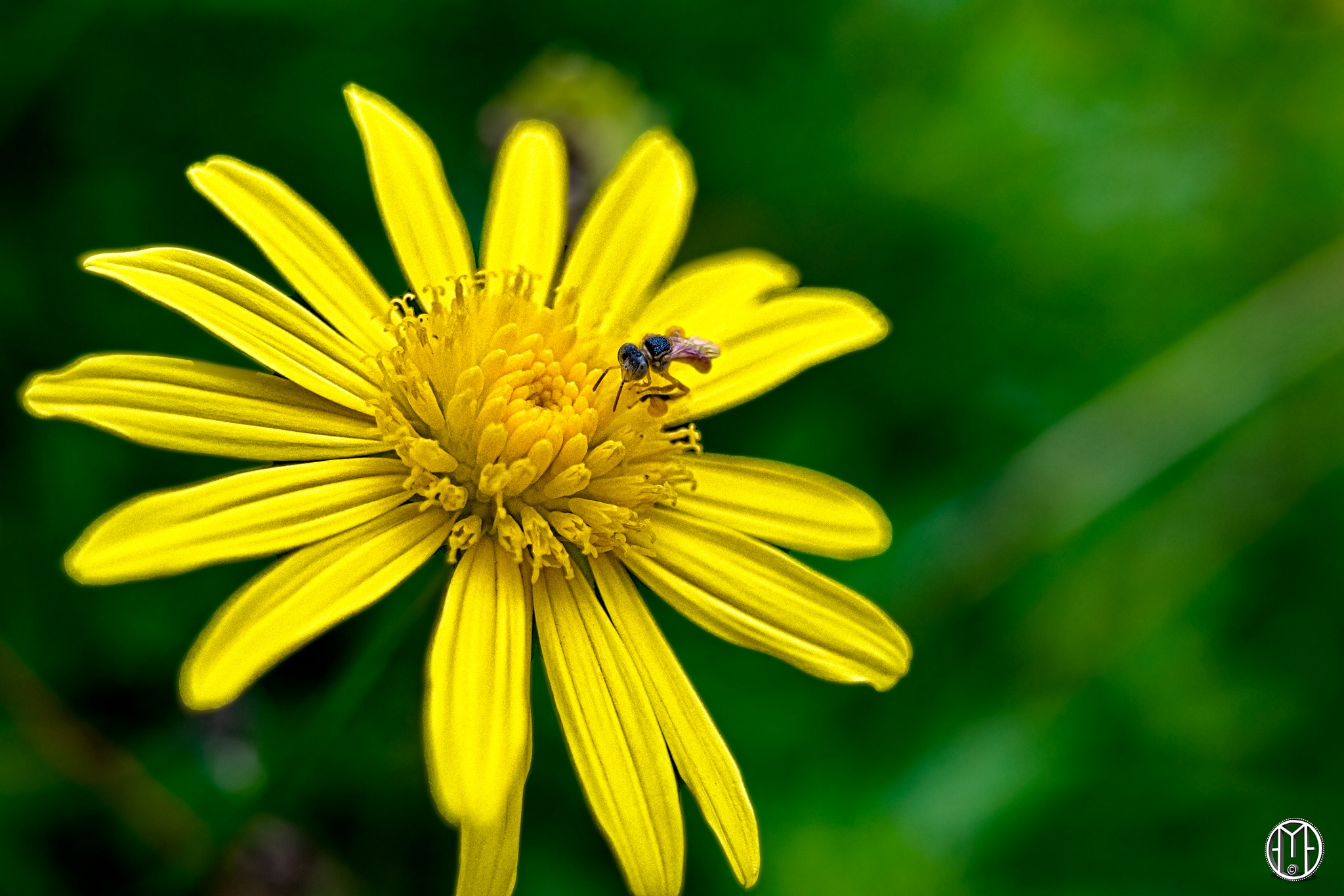 Mini Bee by Gabriel Ochoa Rojas