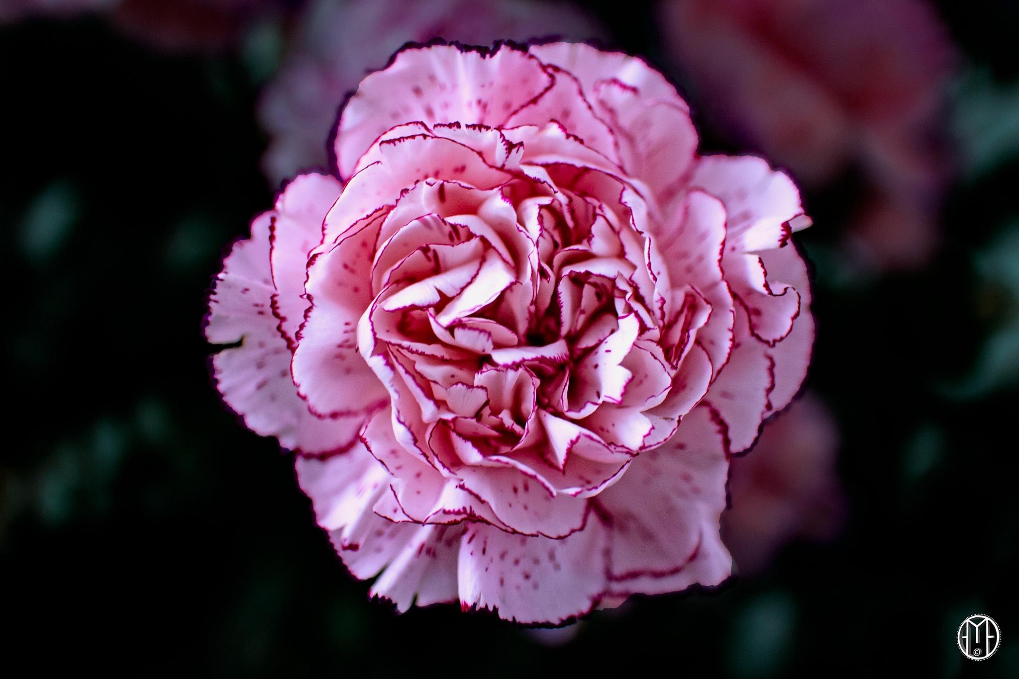 Carnation by Gabriel Ochoa Rojas