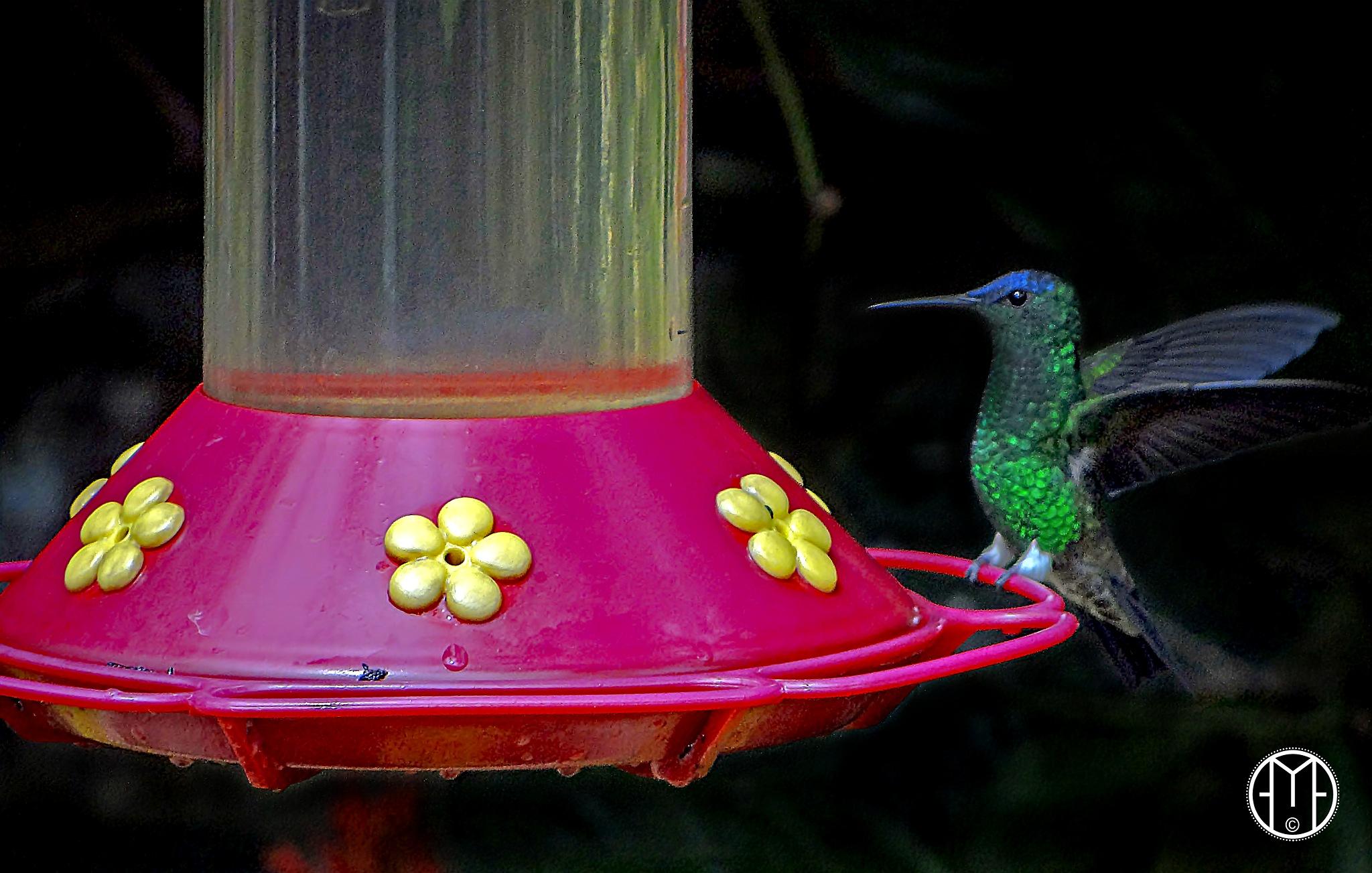 humming bird - colibrí by Gabriel Ochoa Rojas