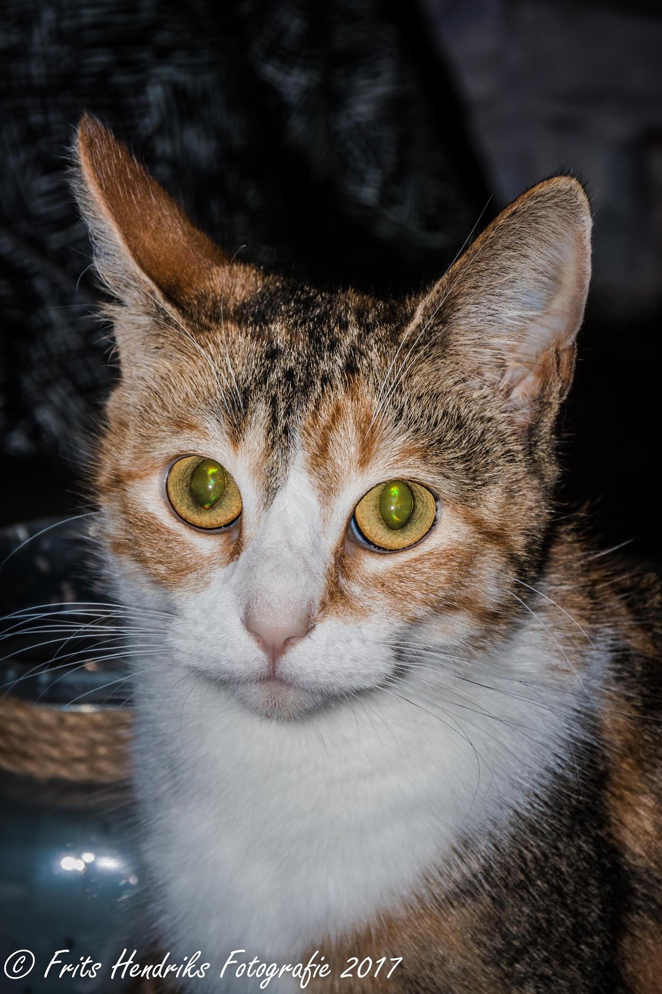 kitten by fritshendriksfotografie