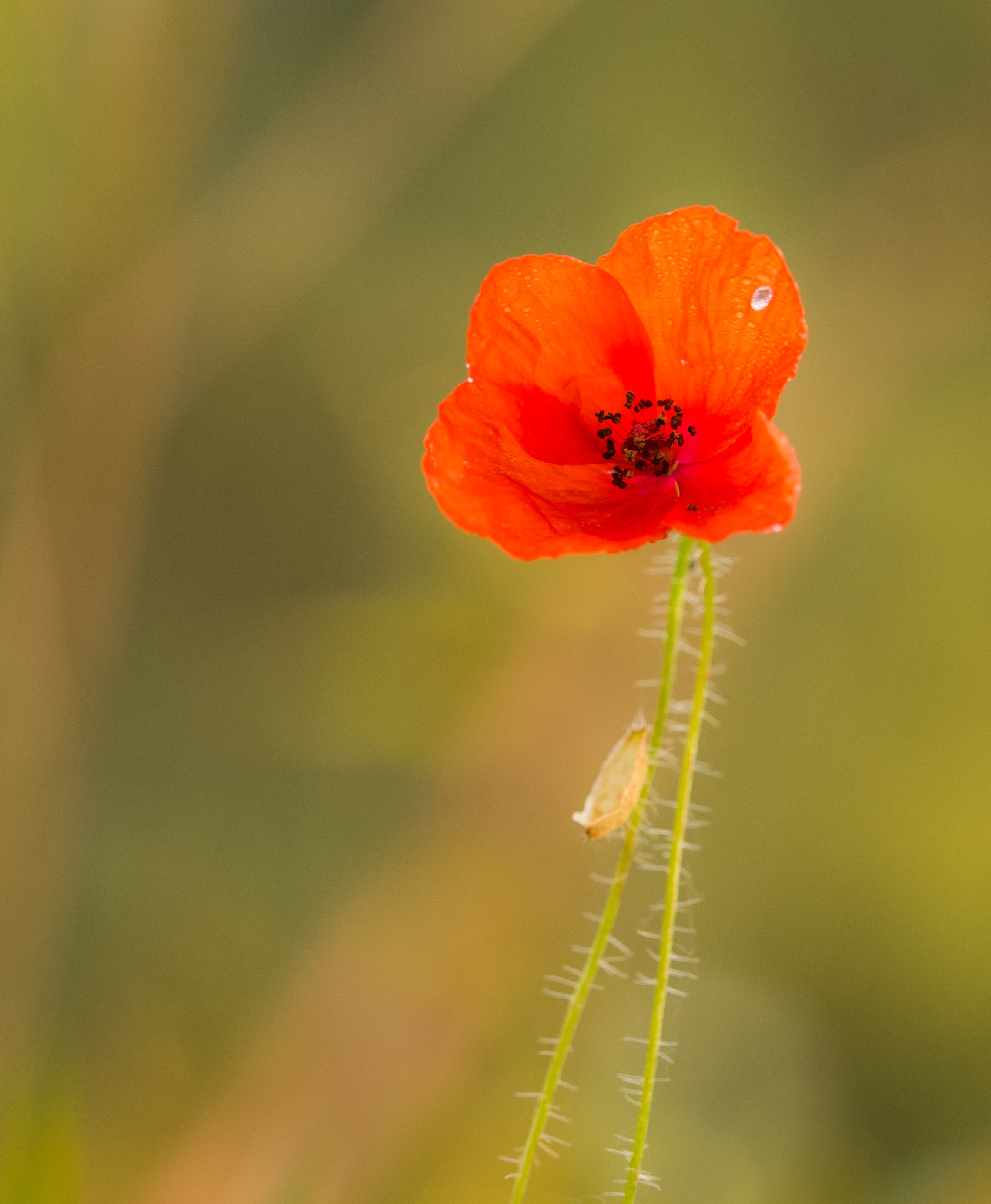 Poppy-up by Gilbert de Bruijn