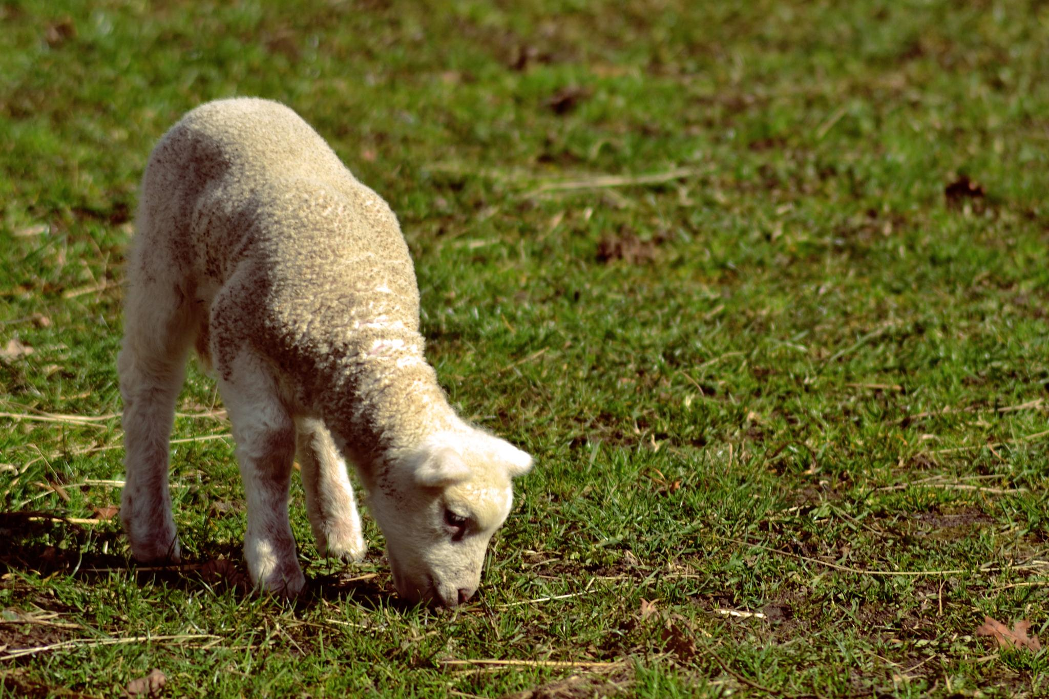 Lamb in Spring. by SW Photography